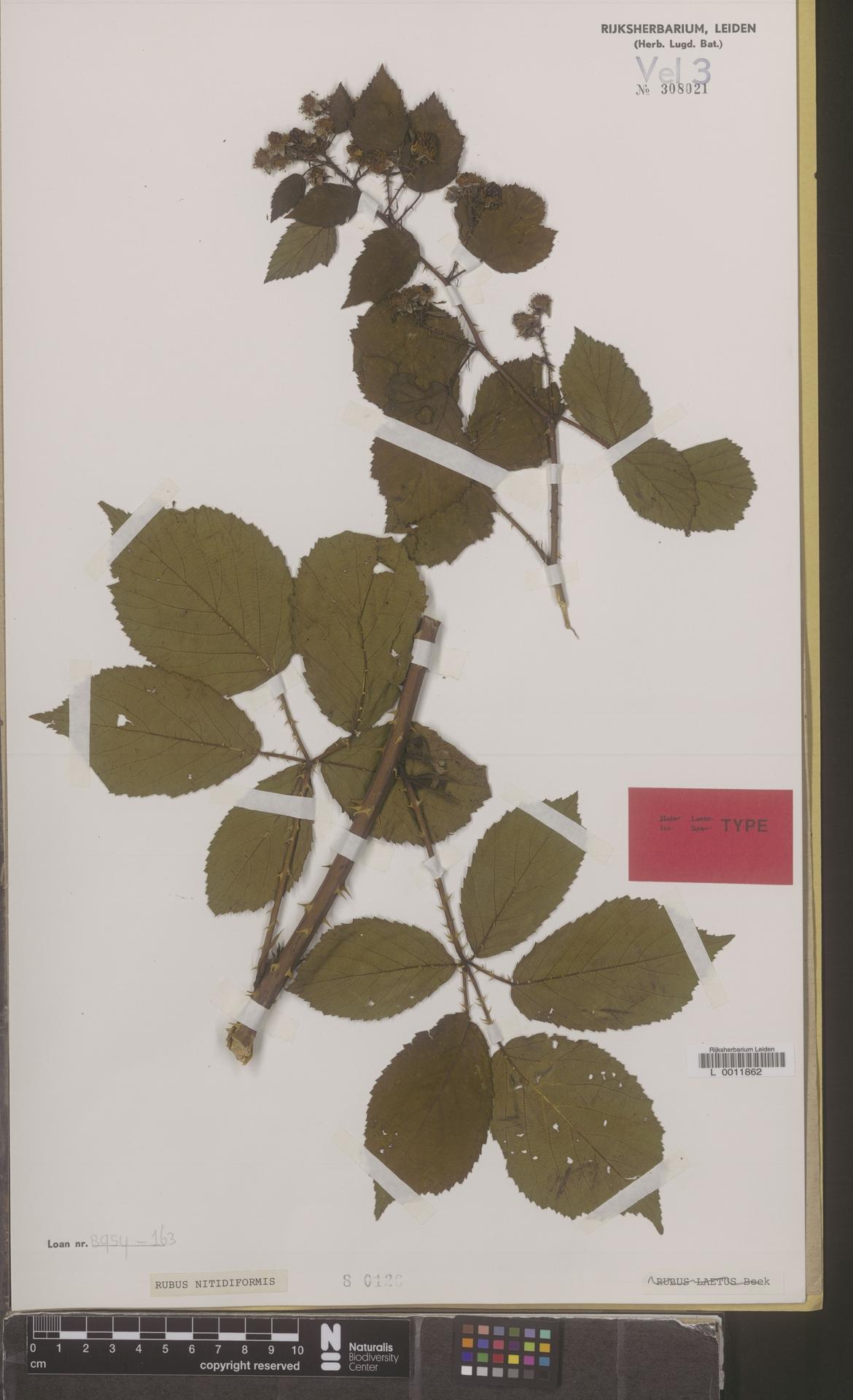 L  0011862 | Rubus frederici A.Beek