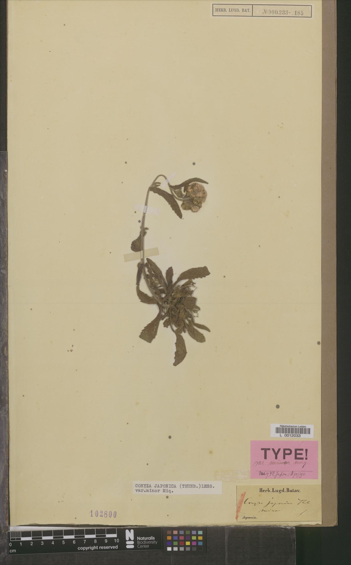 L  0012033   Conyza japonica var. minor Miq.