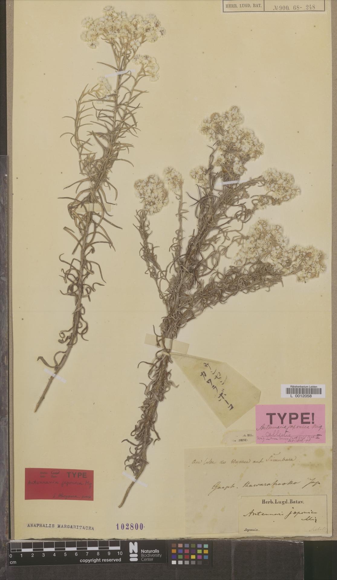 L  0012058 | Anaphalis margaritacea (L.) Benth. & Hook.f.