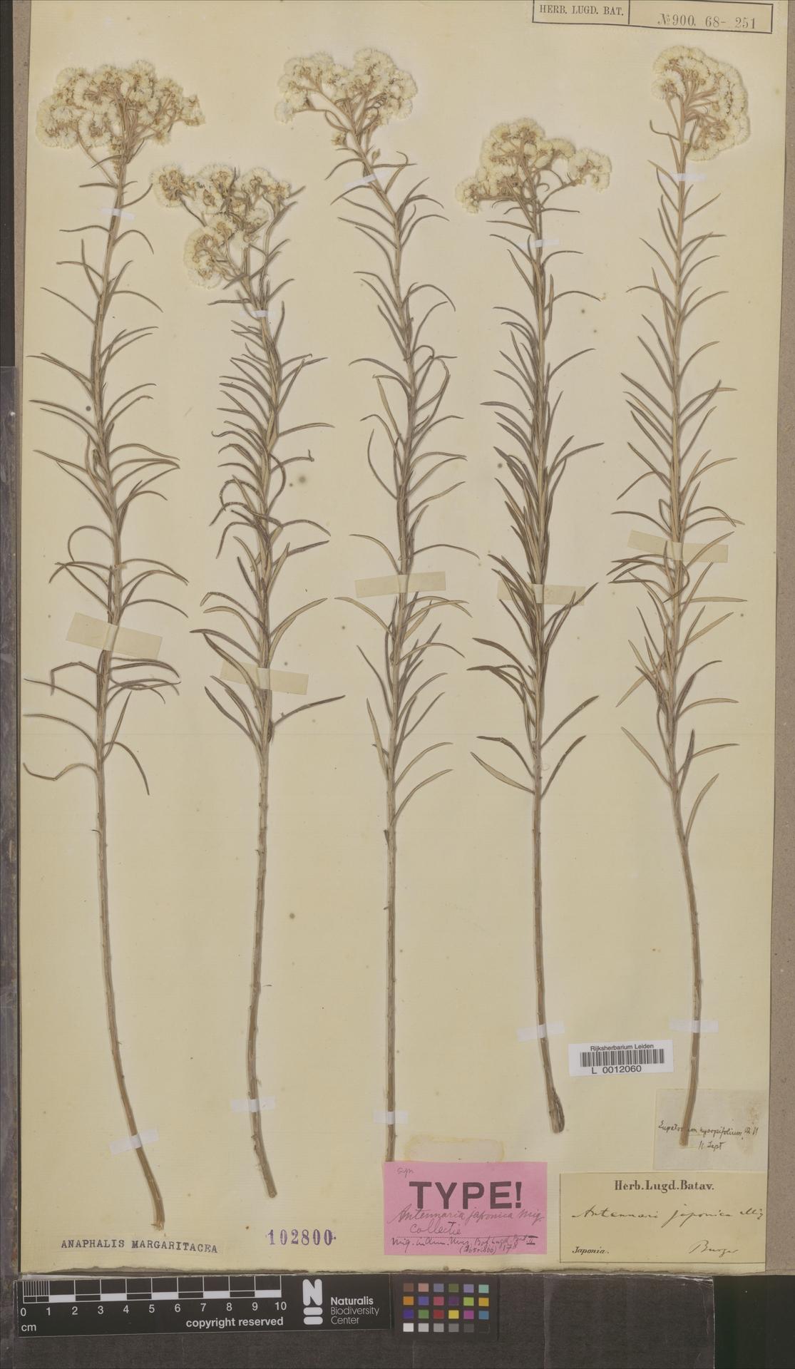 L  0012060 | Anaphalis margaritacea (L.) Benth. & Hook.f.