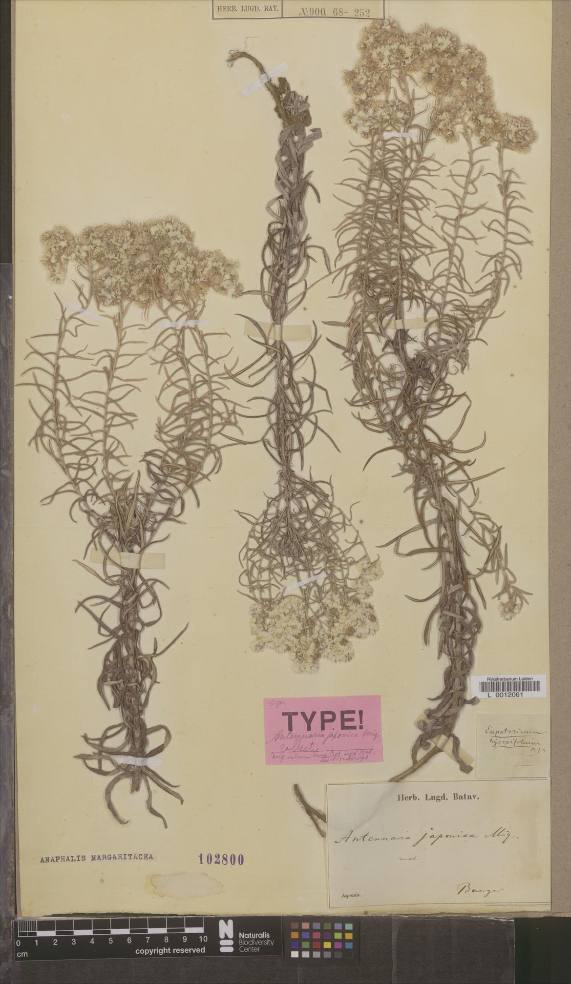 L  0012061 | Anaphalis margaritacea (L.) Benth. & Hook.f.