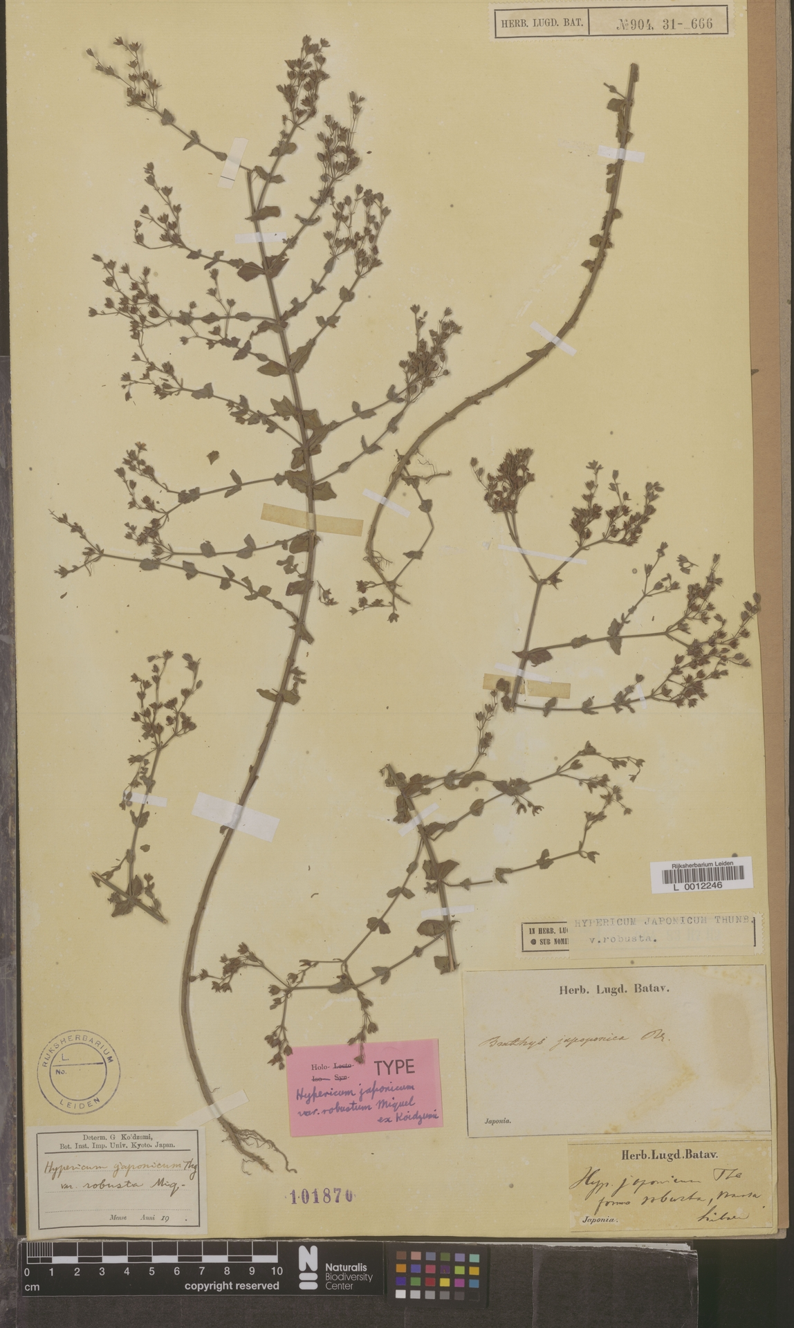 L  0012246 | Hypericum japonicum var. robustum Miq. ex Koidz.