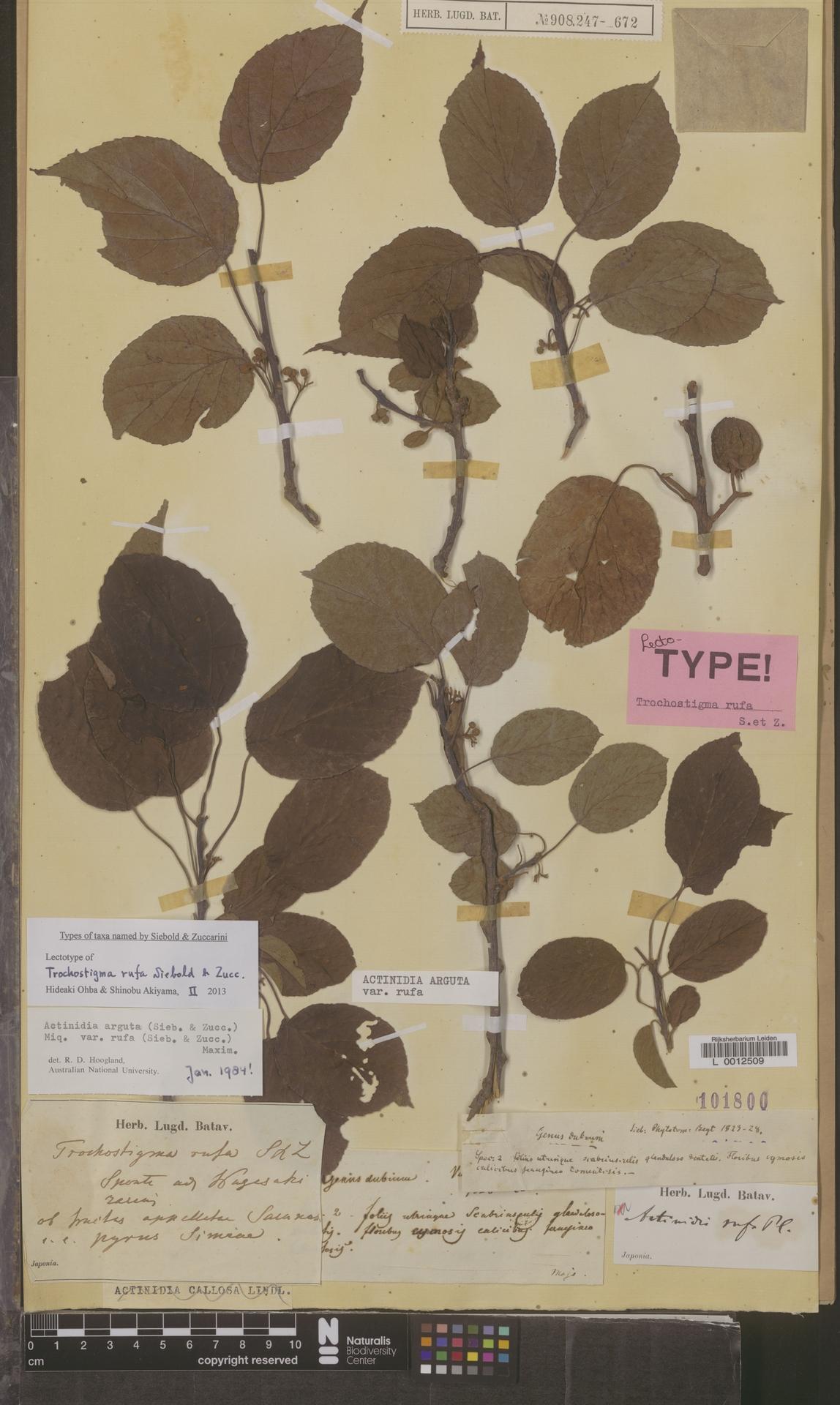 L  0012509 | Actinidia arguta var. rufa (Siebold & Zucc.) Maxim.