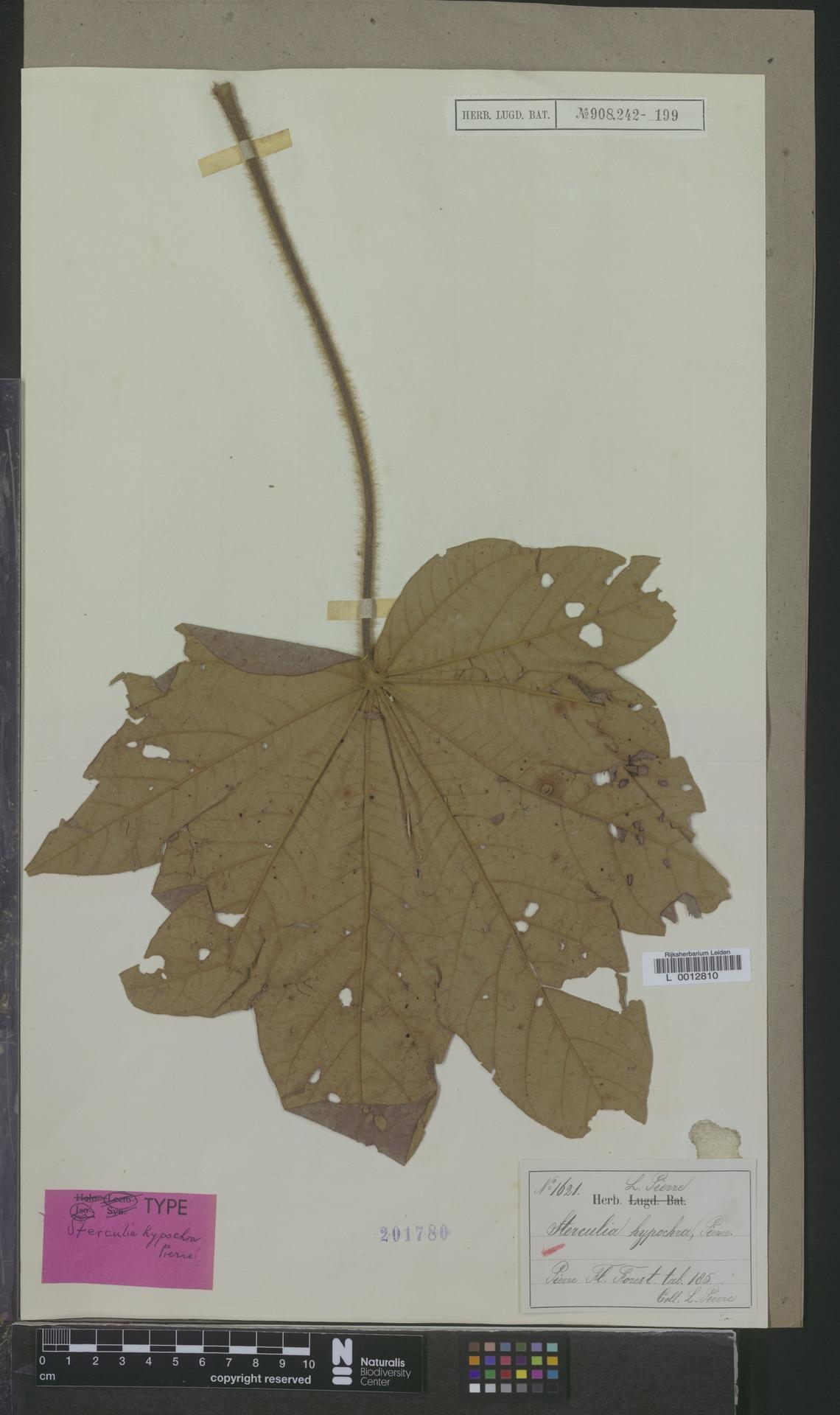L  0012810 | Sterculia hypochroa Pierre