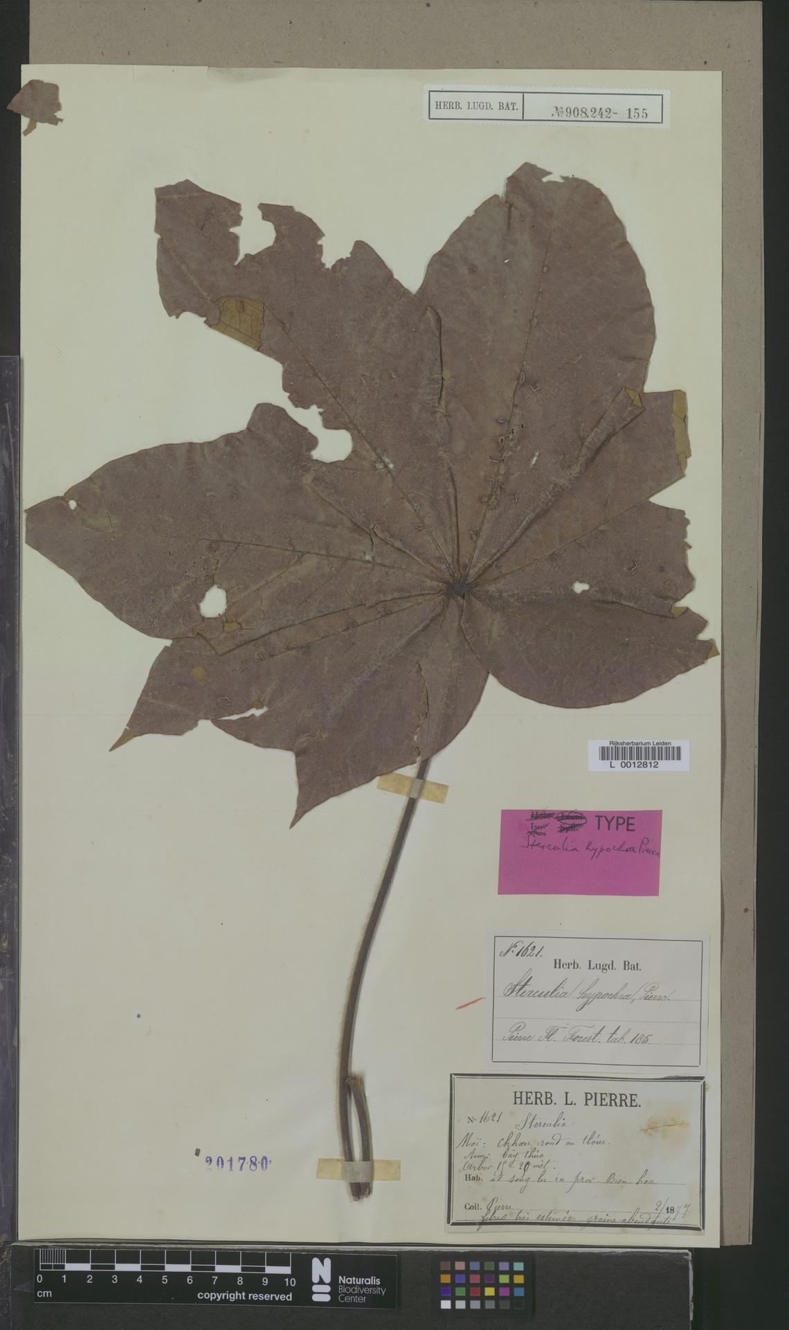 L  0012812 | Sterculia hypochroa Pierre
