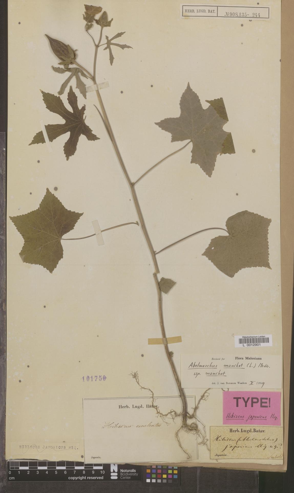 L  0012901 | Abelmoschus manihot (L.) Medik.