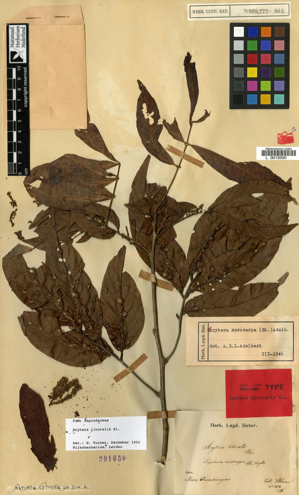 L  0013330   Arytera littoralis Blume