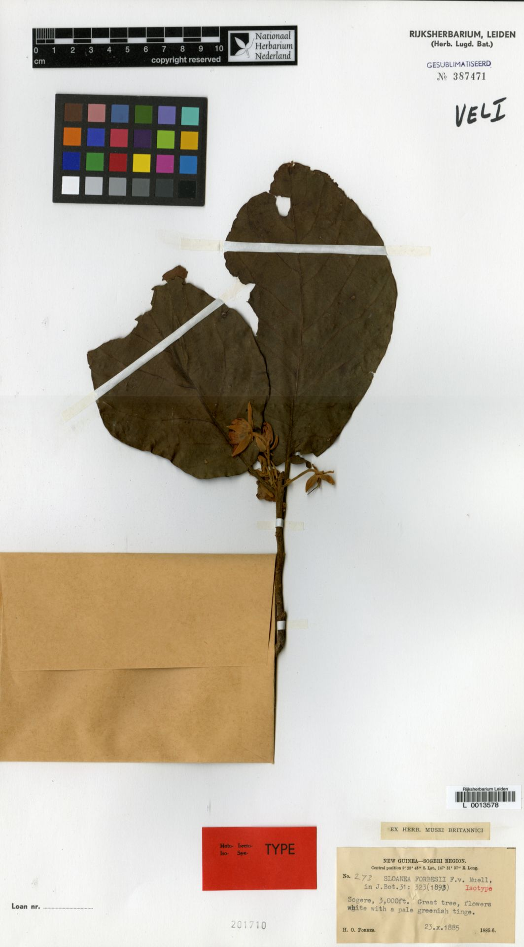 L  0013578   Sloanea forbesii F.Muell.
