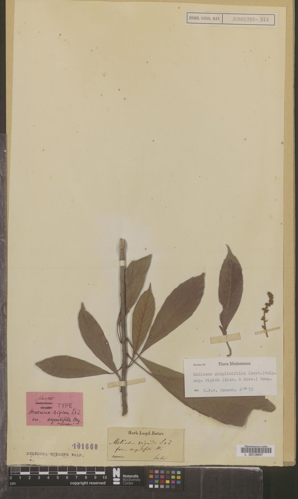 L  0013947 | Meliosma simplicifolia subsp. rigida (Siebold & Zucc.) Beusekom