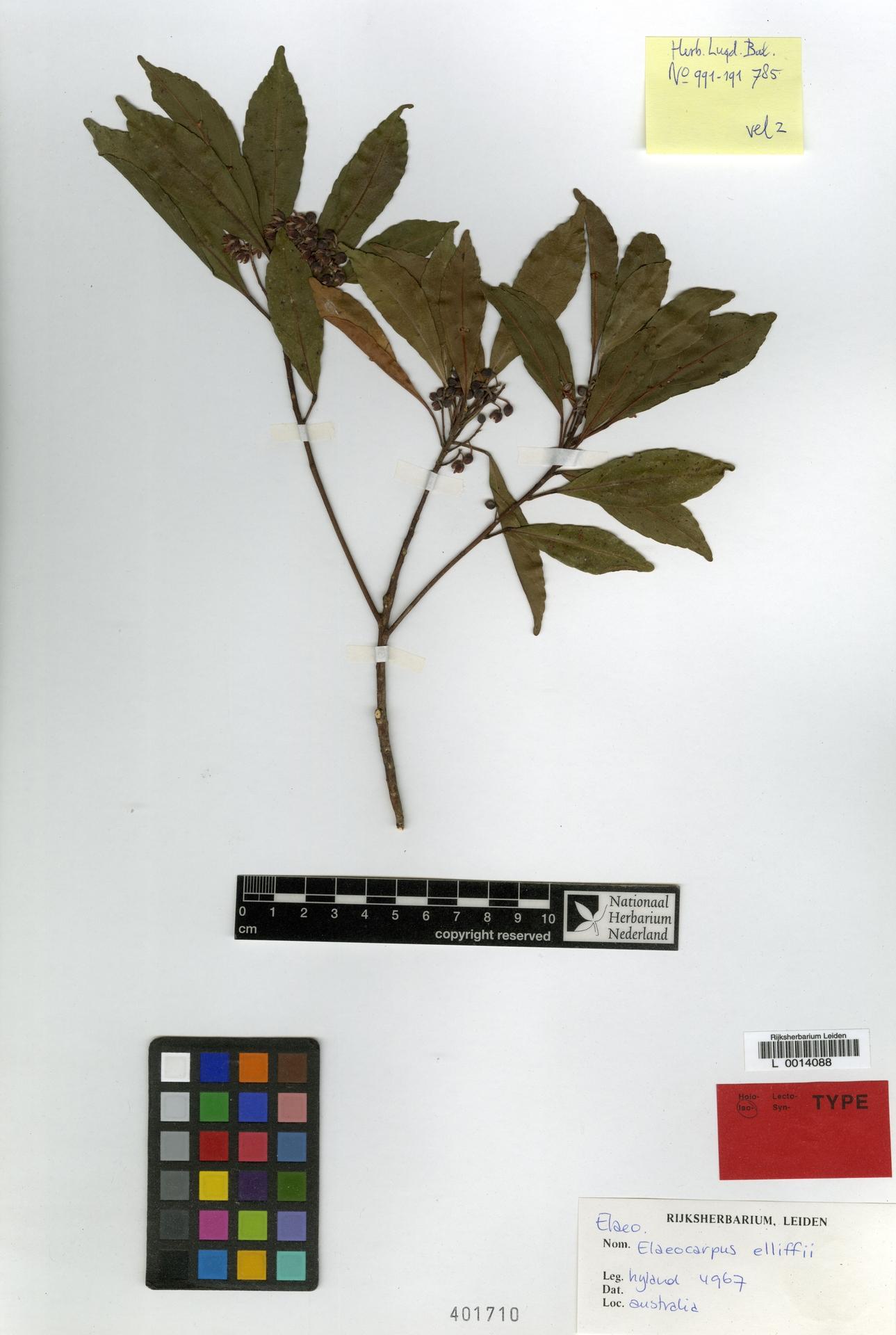 L  0014088 | Elaeocarpus elliffii B.Hyland & Coode