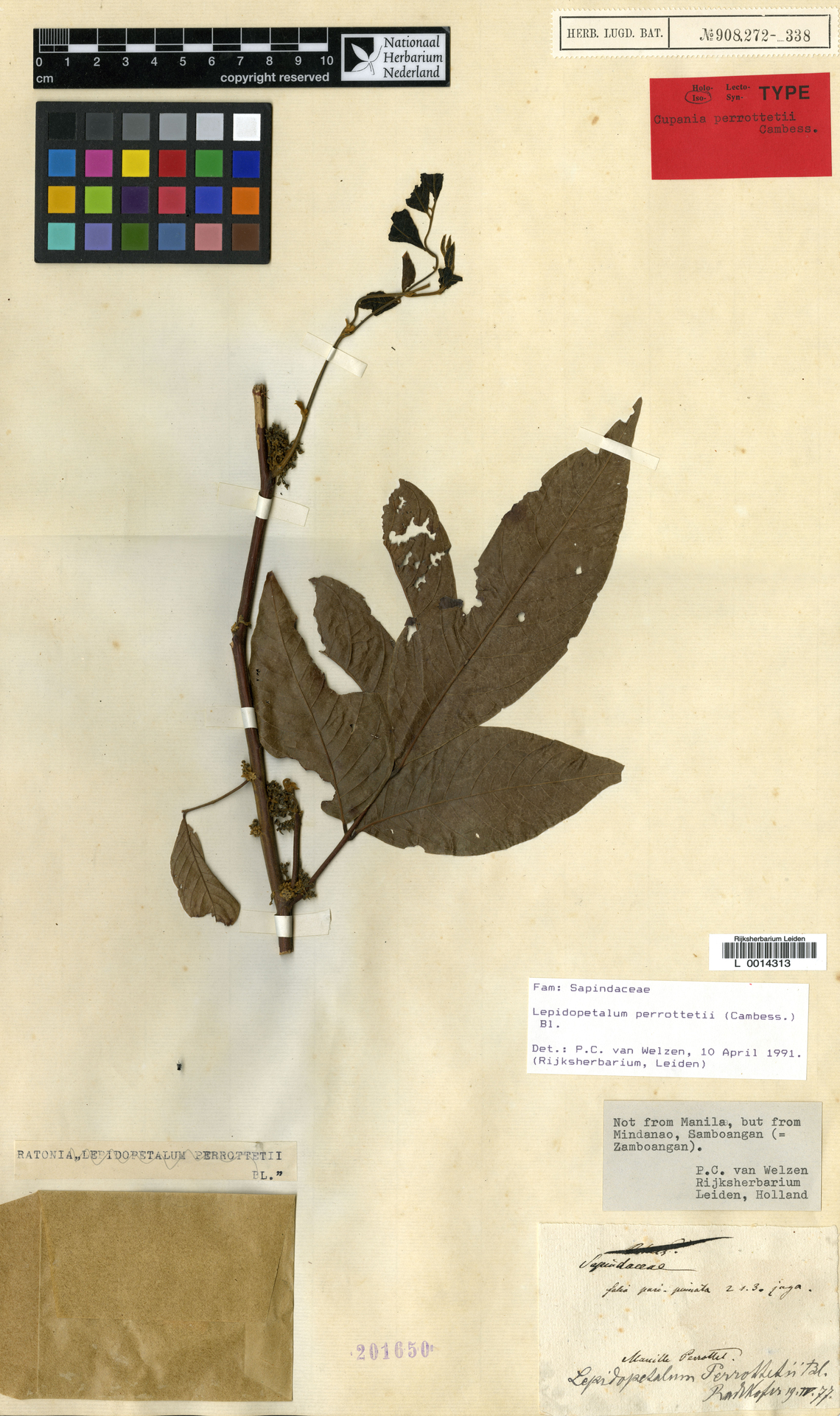 L  0014313   Lepidopetalum perrottetii (Cambess.) Blume