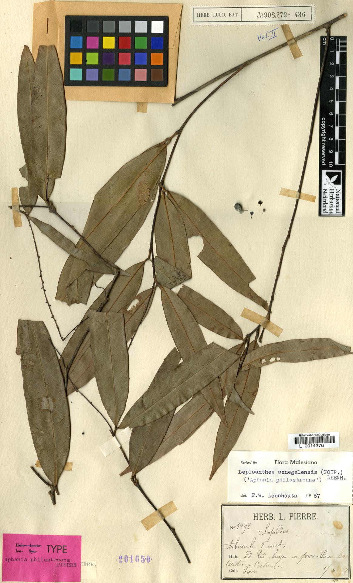 L  0014376   Lepisanthes senegalensis (Poir.) Leenh.