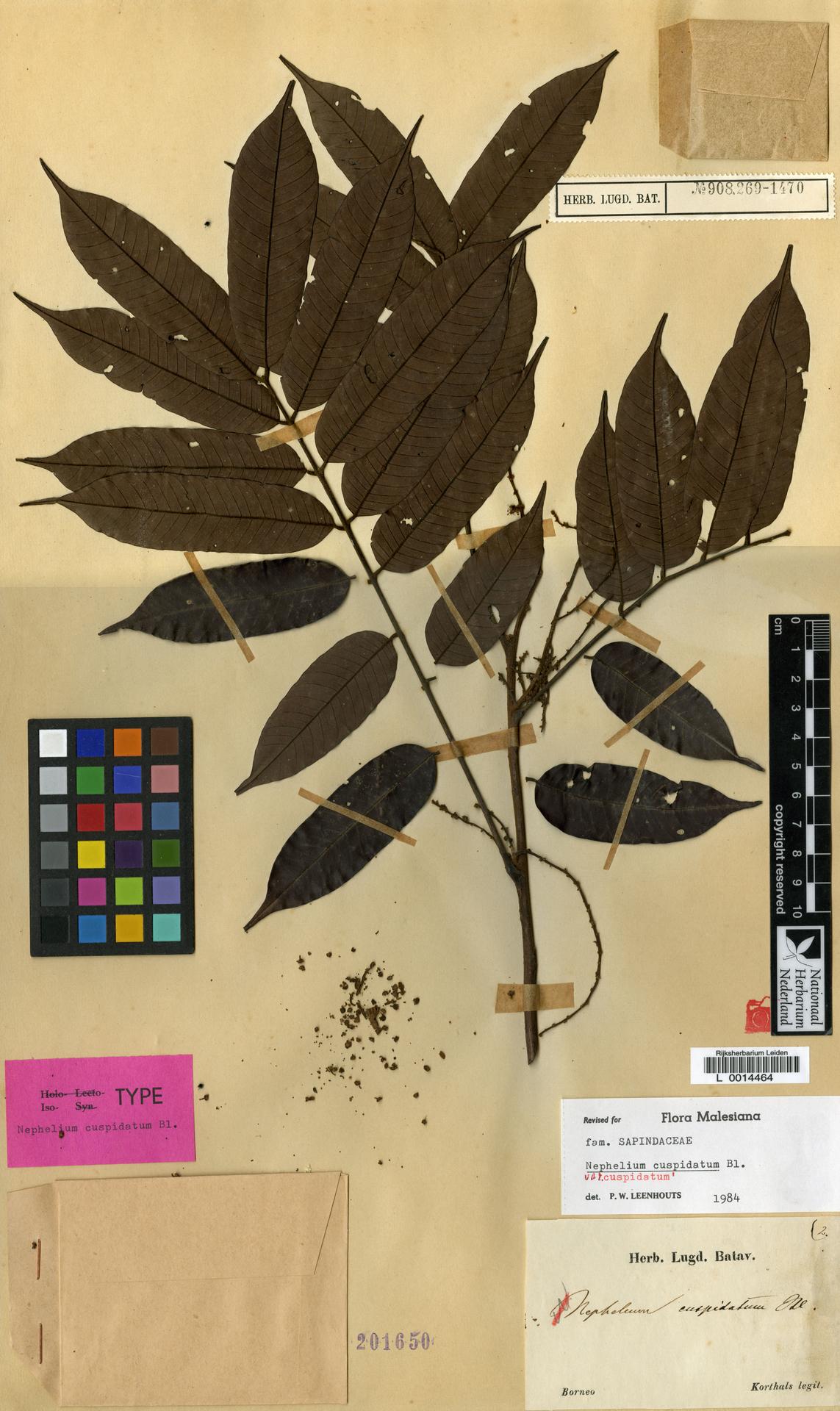 L  0014464 | Nephelium cuspidatum var. cuspidatum