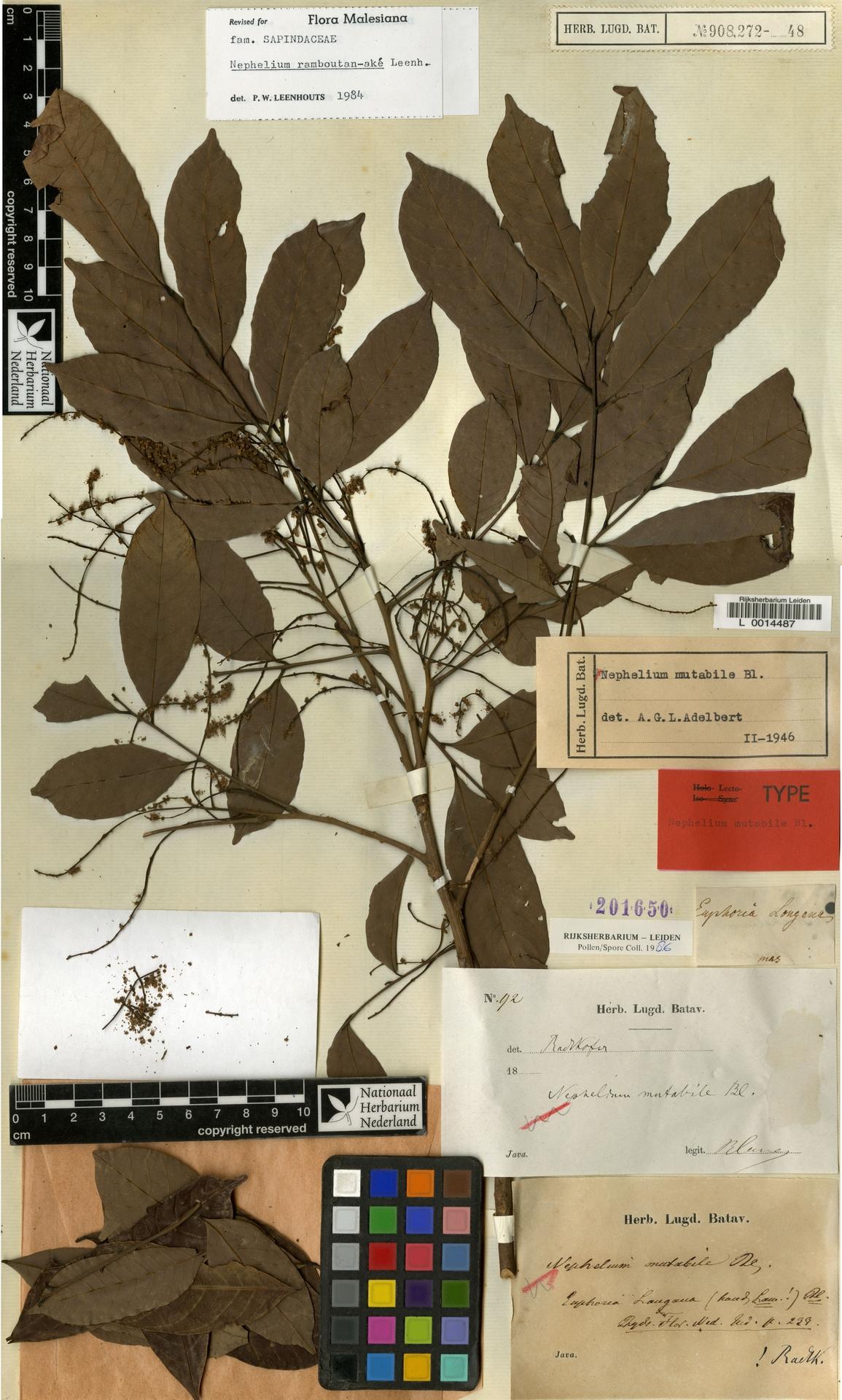 L  0014487   Nephelium ramboutan-ake (Labill.) Leenh.