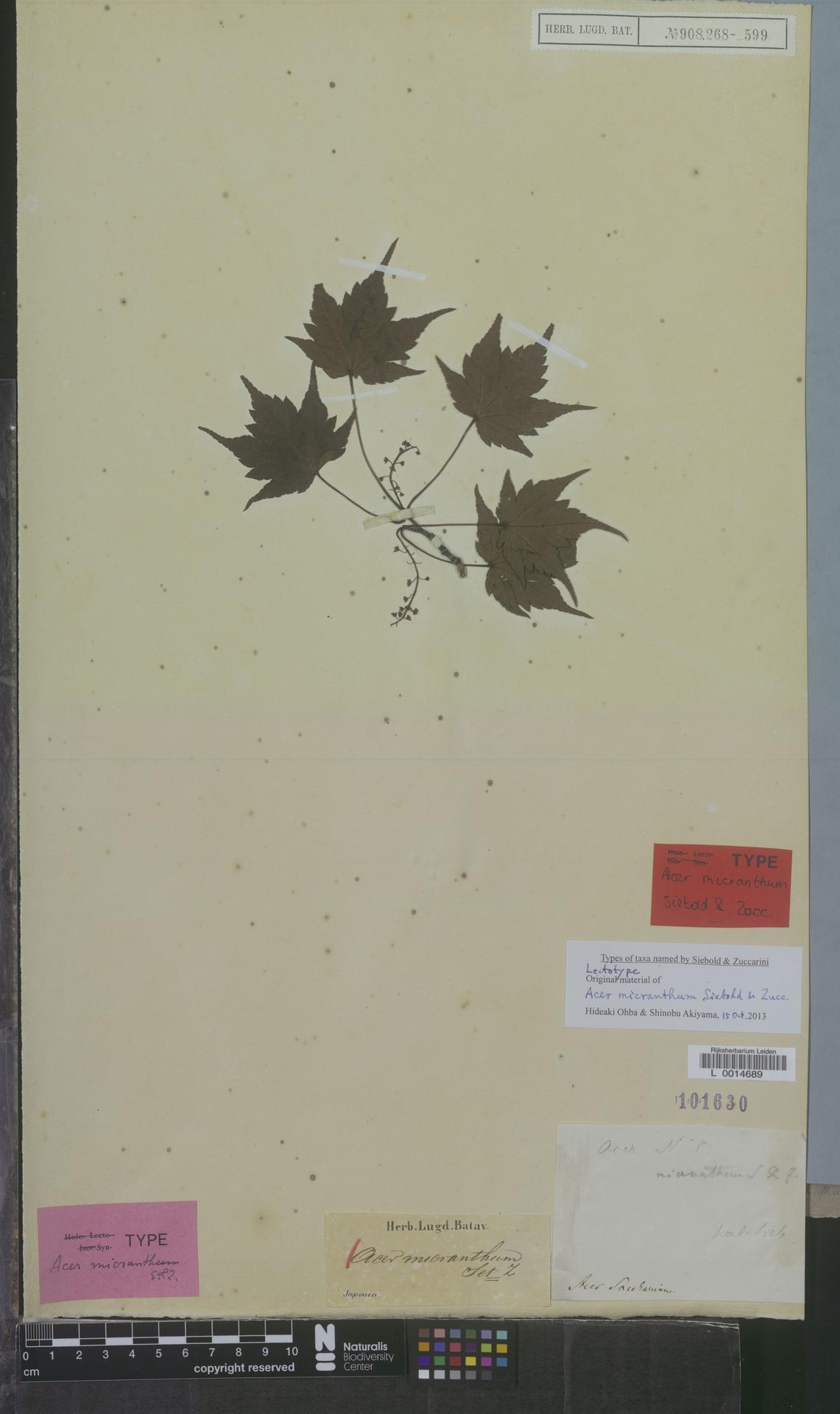 L  0014689 | Acer micranthum Siebold & Zucc.