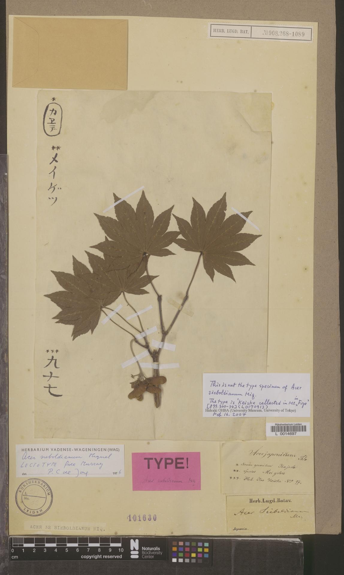 L  0014697 | Acer sieboldianum Miq.
