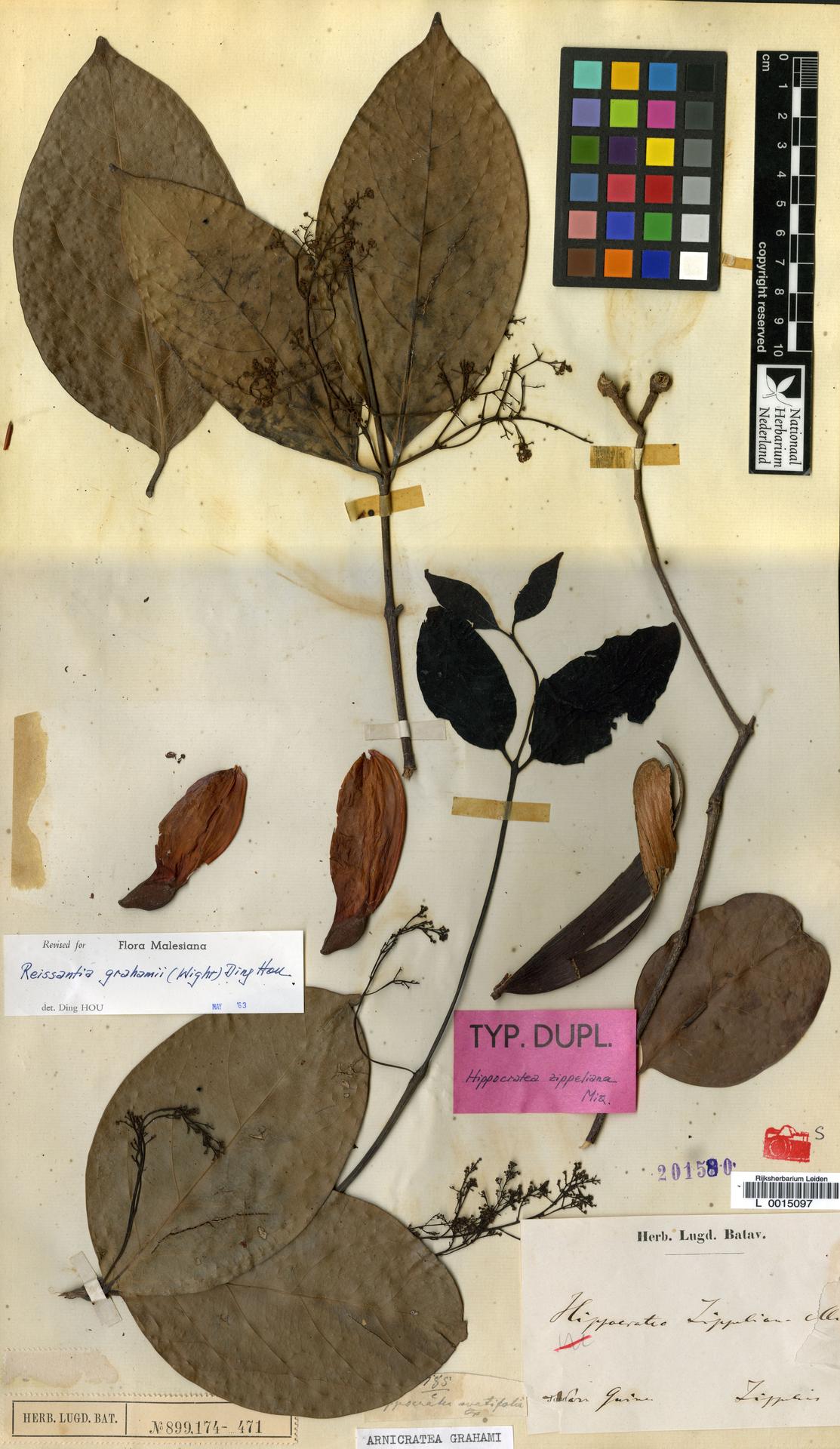L  0015097 | Arnicratea grahami (Wight) N.Hallé