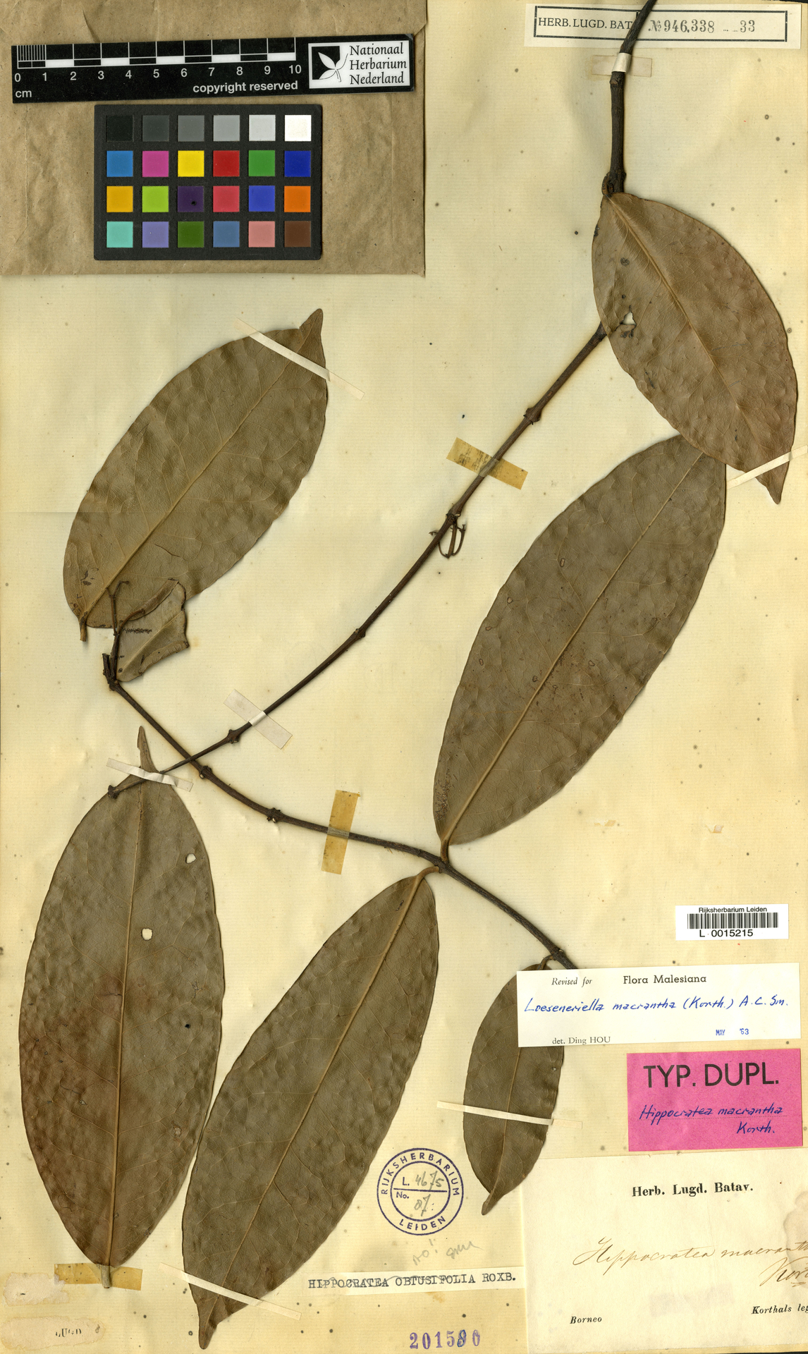 L  0015215 | Loeseneriella macrantha (Korth.) A.C.Sm.