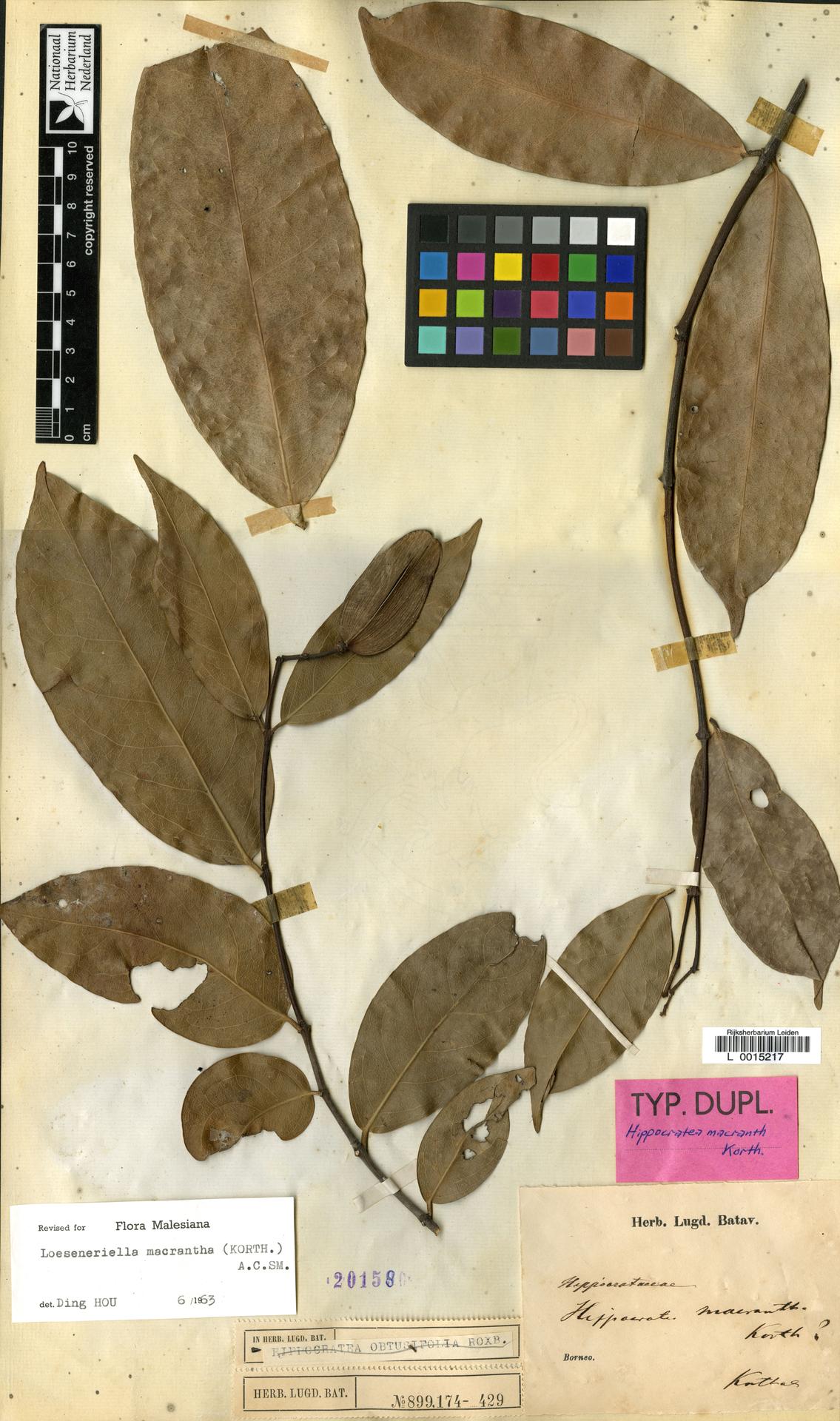 L  0015217 | Loeseneriella macrantha (Korth.) A.C.Sm.