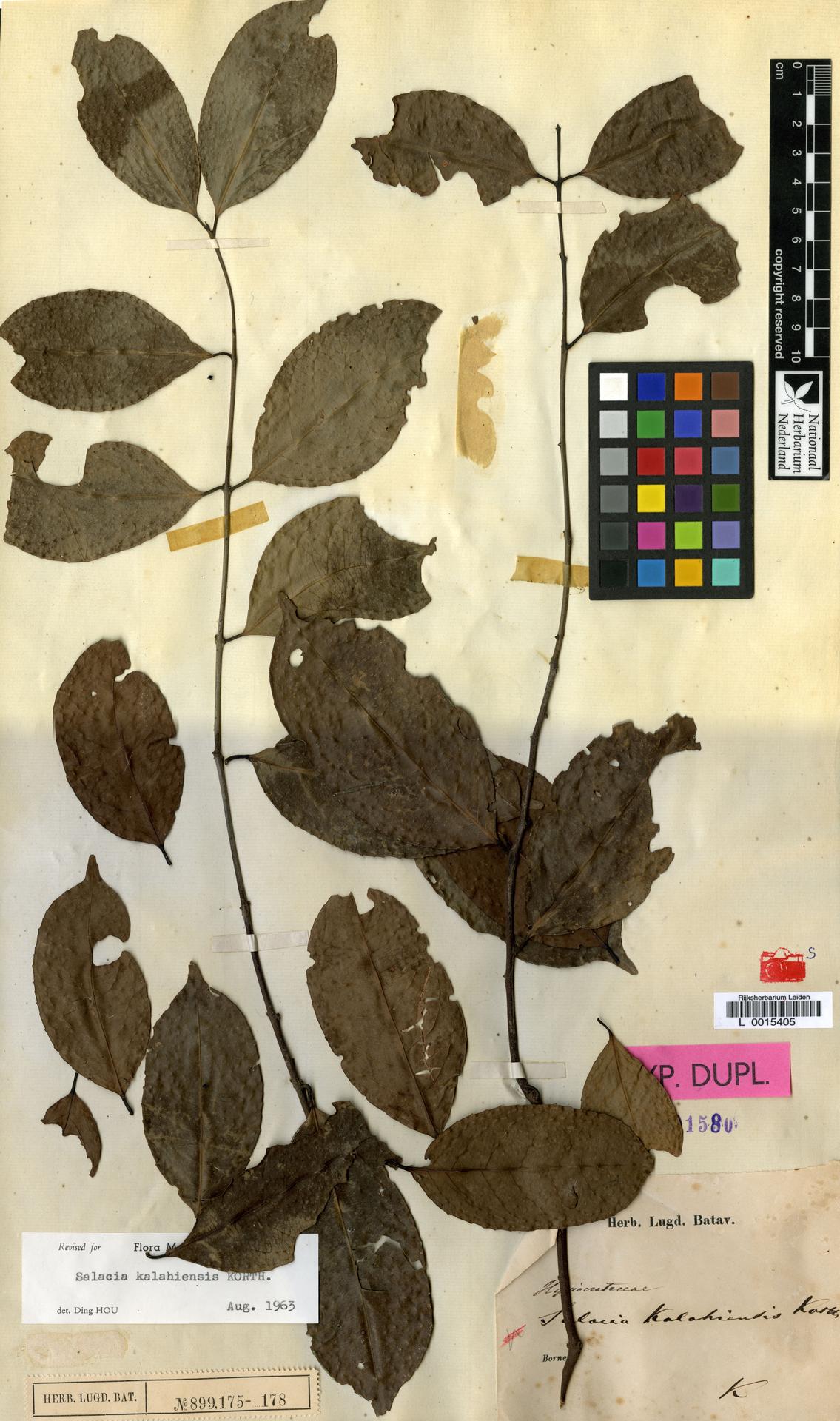 L  0015405 | Salacia kalahiensis Korth.