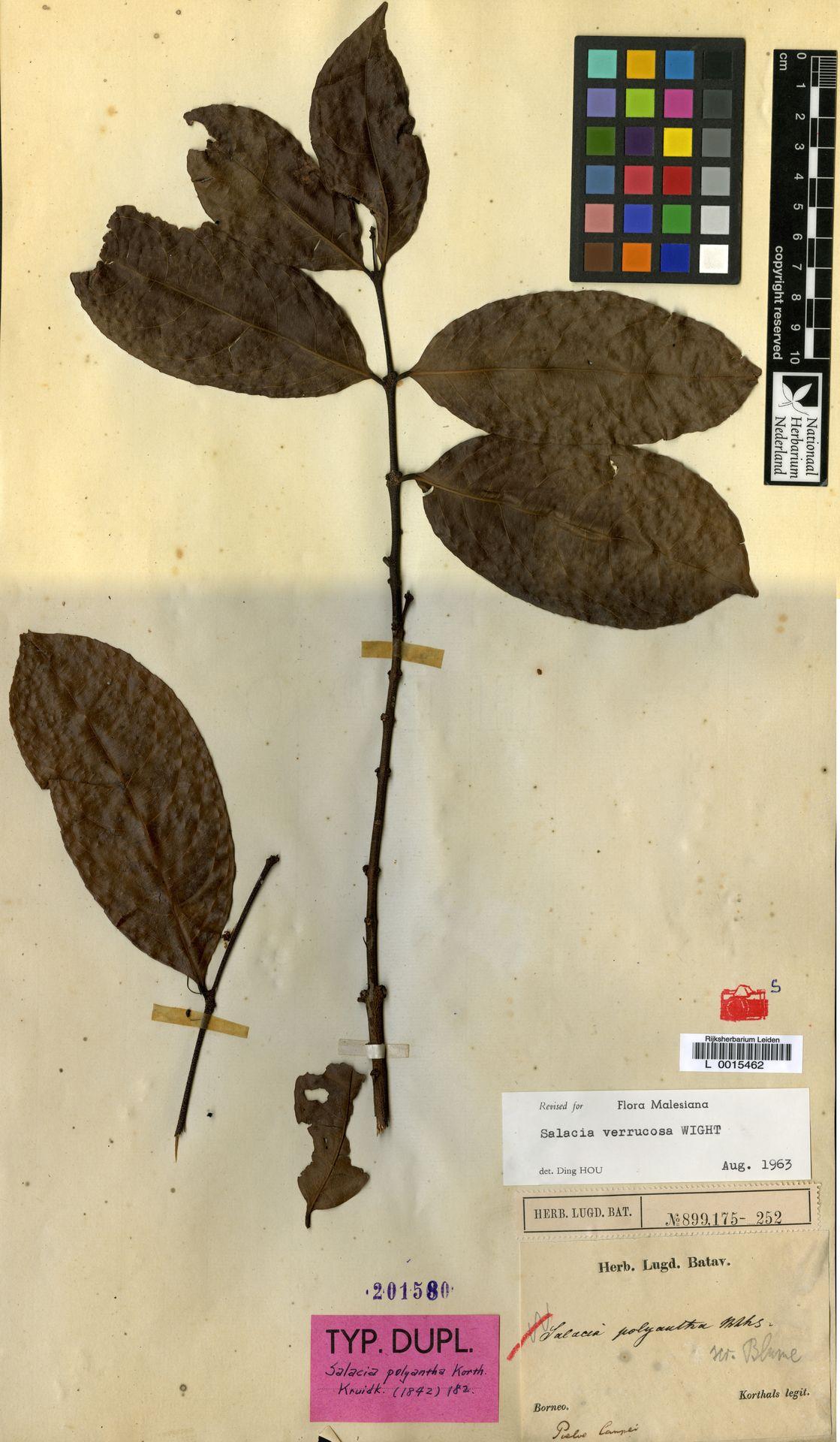 L  0015462 | Salacia verrucosa Wight
