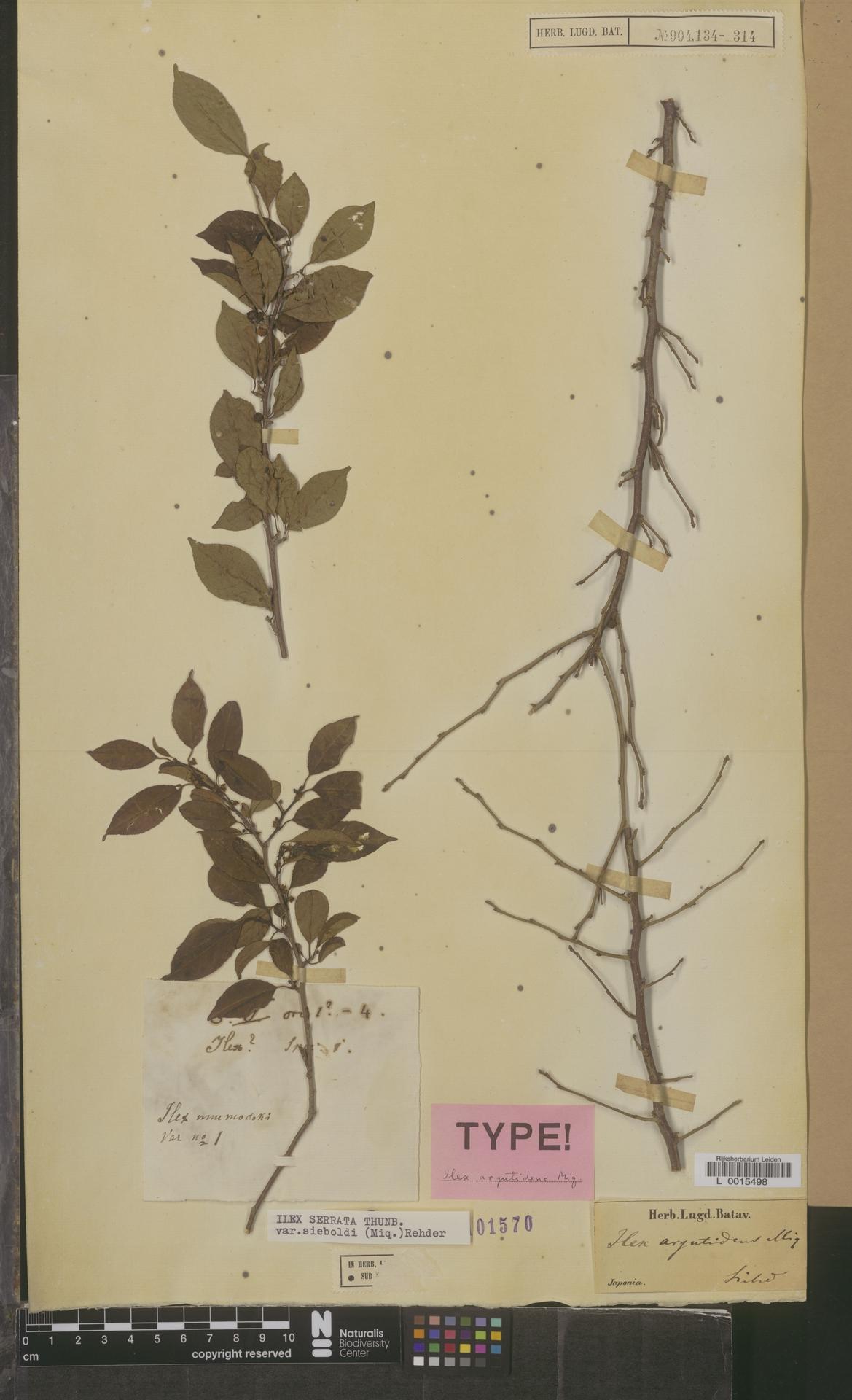 L  0015498 | Ilex serrata var. sieboldi (Miq.) Rehder