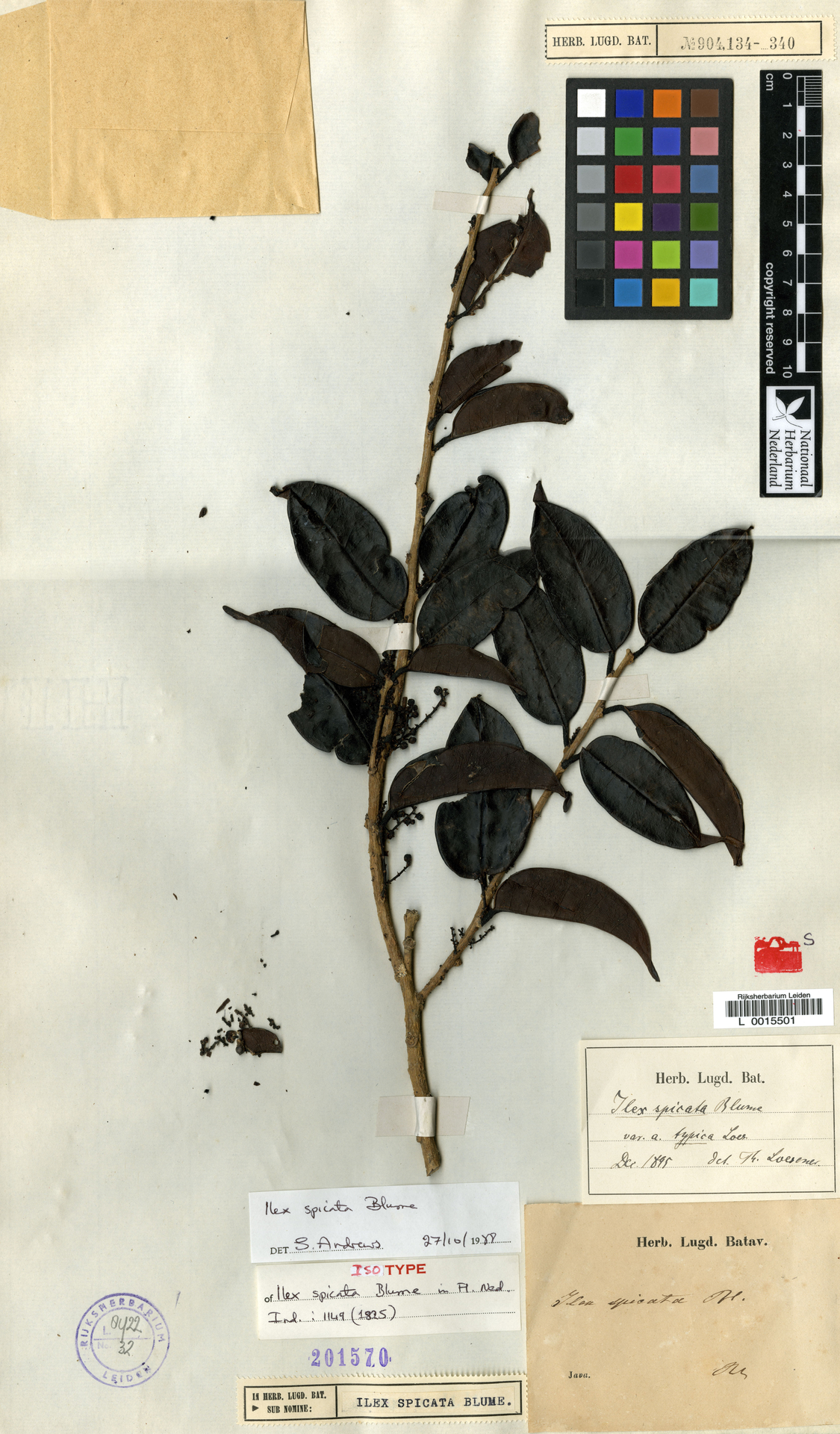 L  0015501 | Ilex spicata Blume