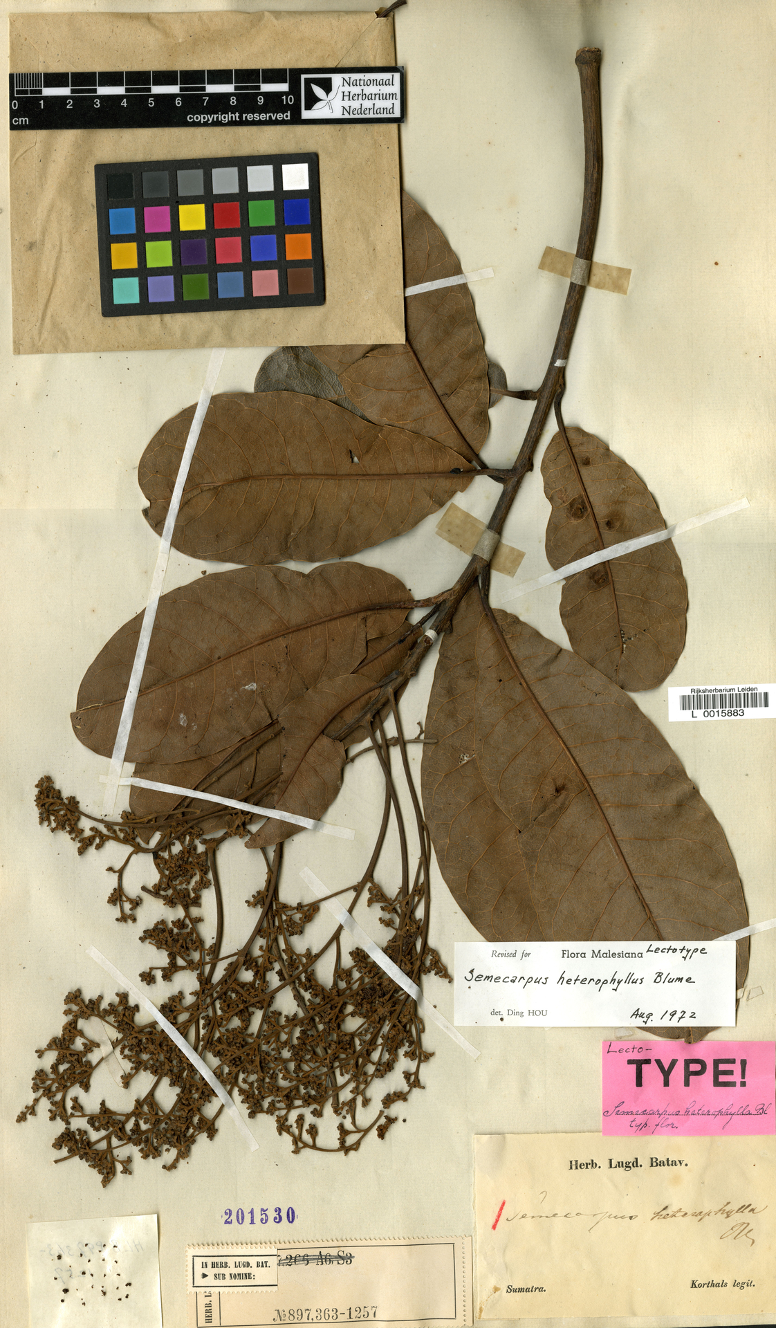 L  0015883 | Semecarpus heterophylla Blume