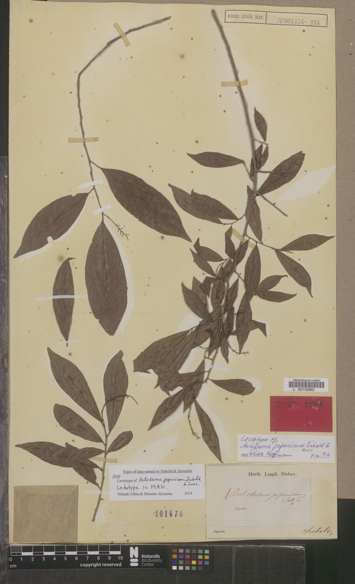 L  0015980   Antidesma japonicum Siebold & Zucc.