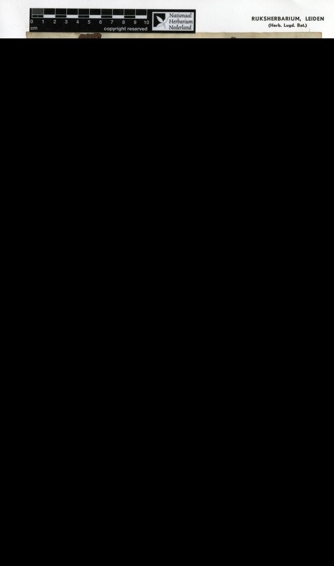 L  0016049   Antidesma tomentosum Blume
