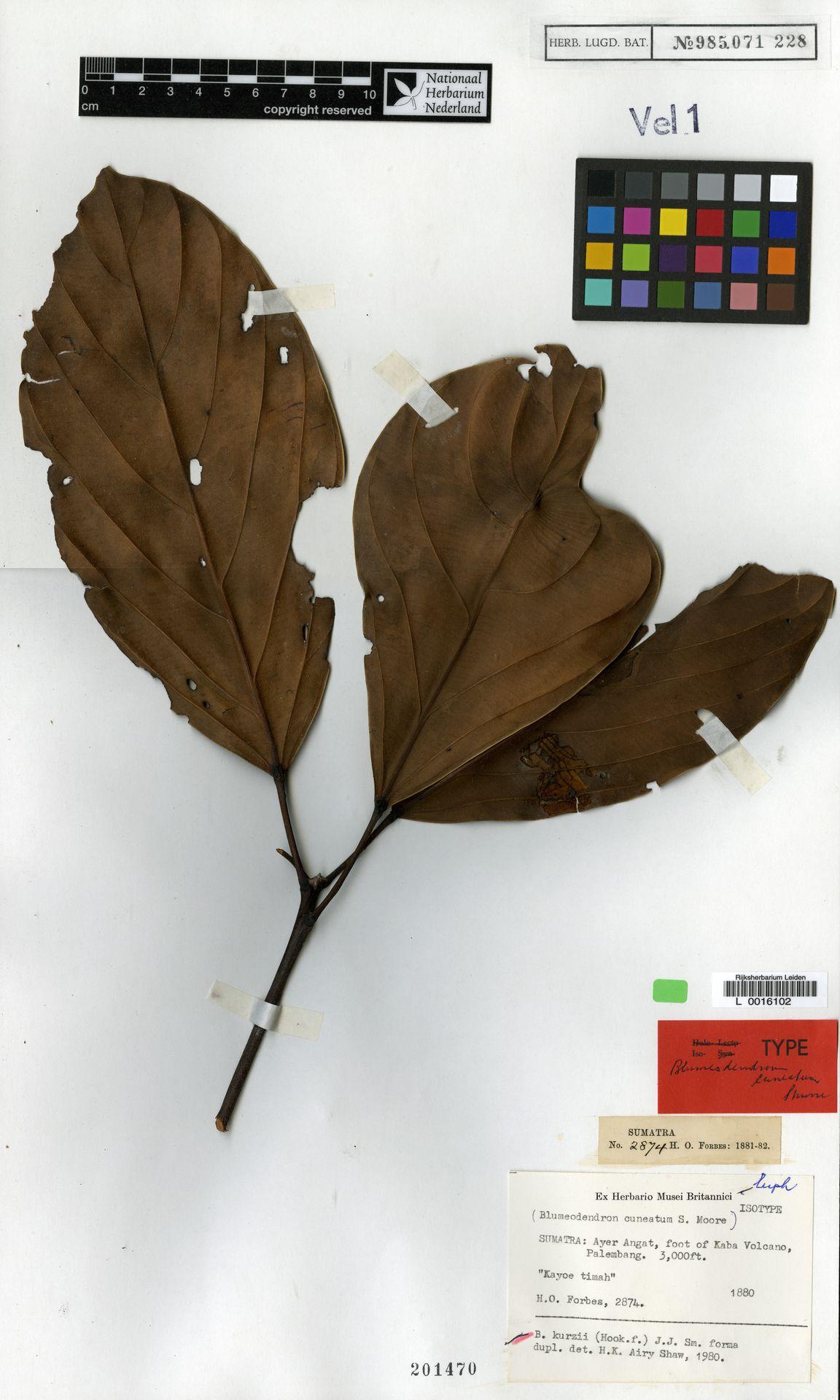 L  0016102 | Blumeodendron kurzii (Hook.f.) J.J.Sm.