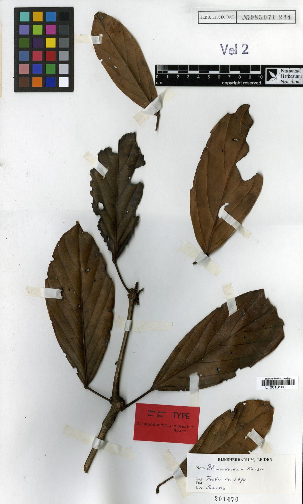 L  0016103 | Blumeodendron kurzii (Hook.f.) J.J.Sm.