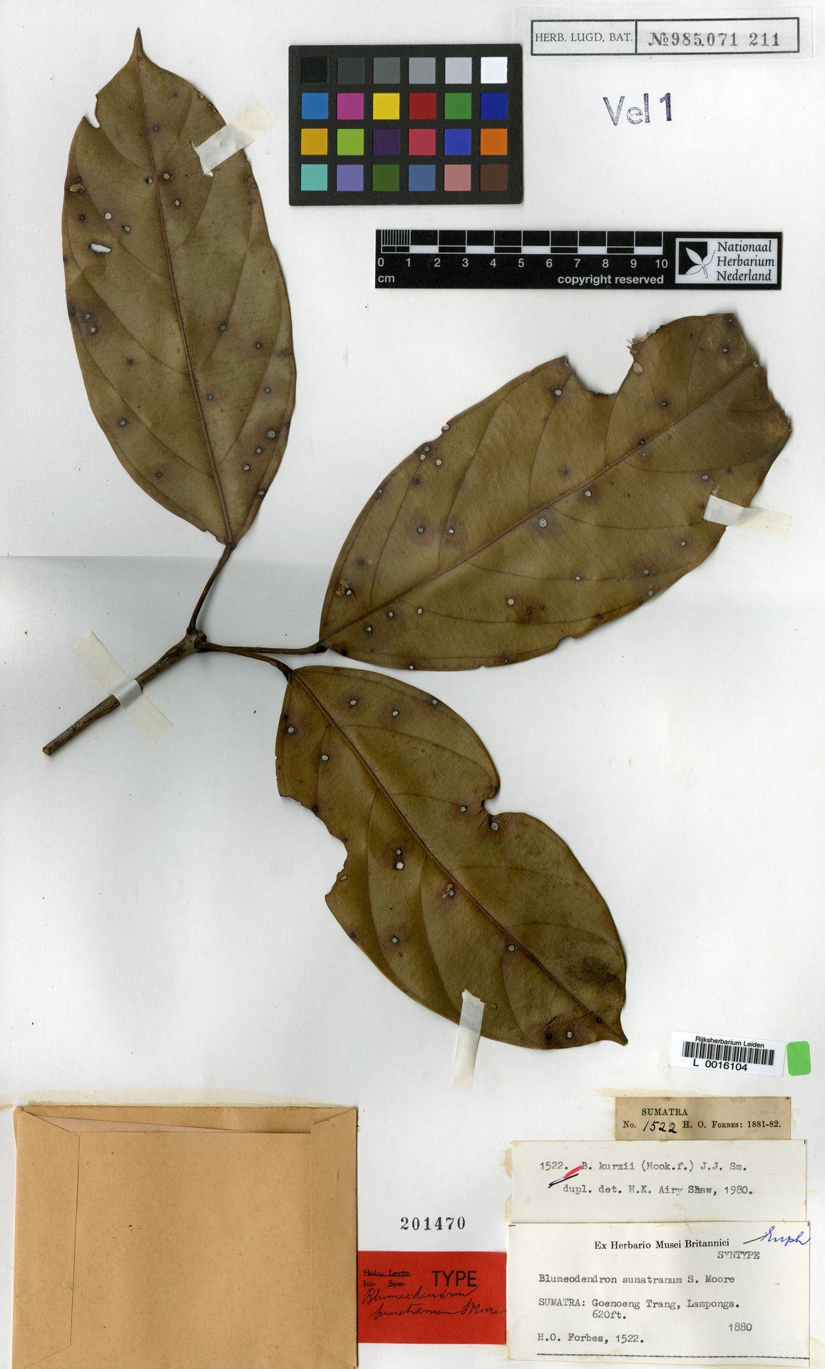 L  0016104 | Blumeodendron kurzii (Hook.f.) J.J.Sm.