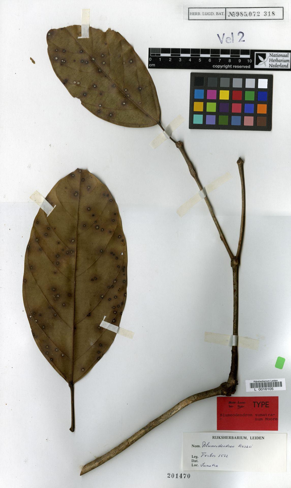 L  0016105 | Blumeodendron kurzii (Hook.f.) J.J.Sm.