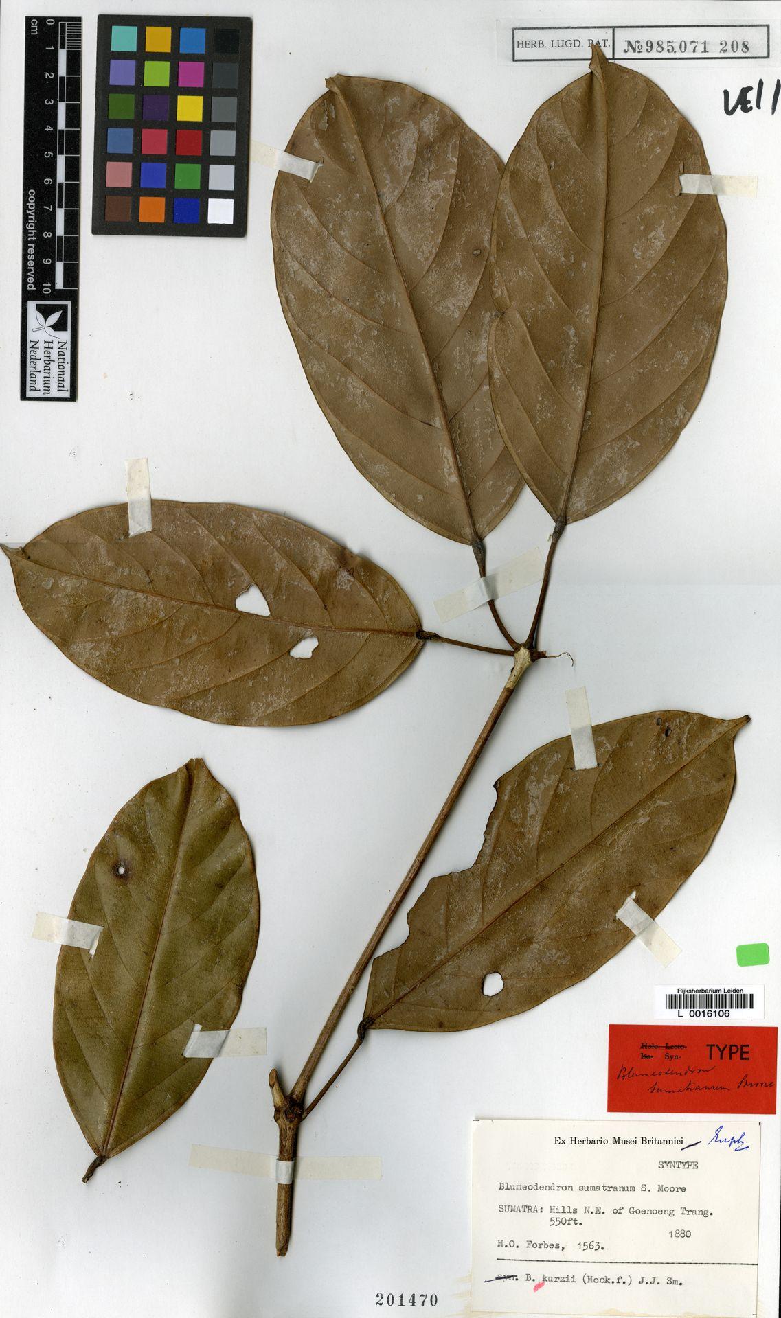 L  0016106 | Blumeodendron kurzii (Hook.f.) J.J.Sm.