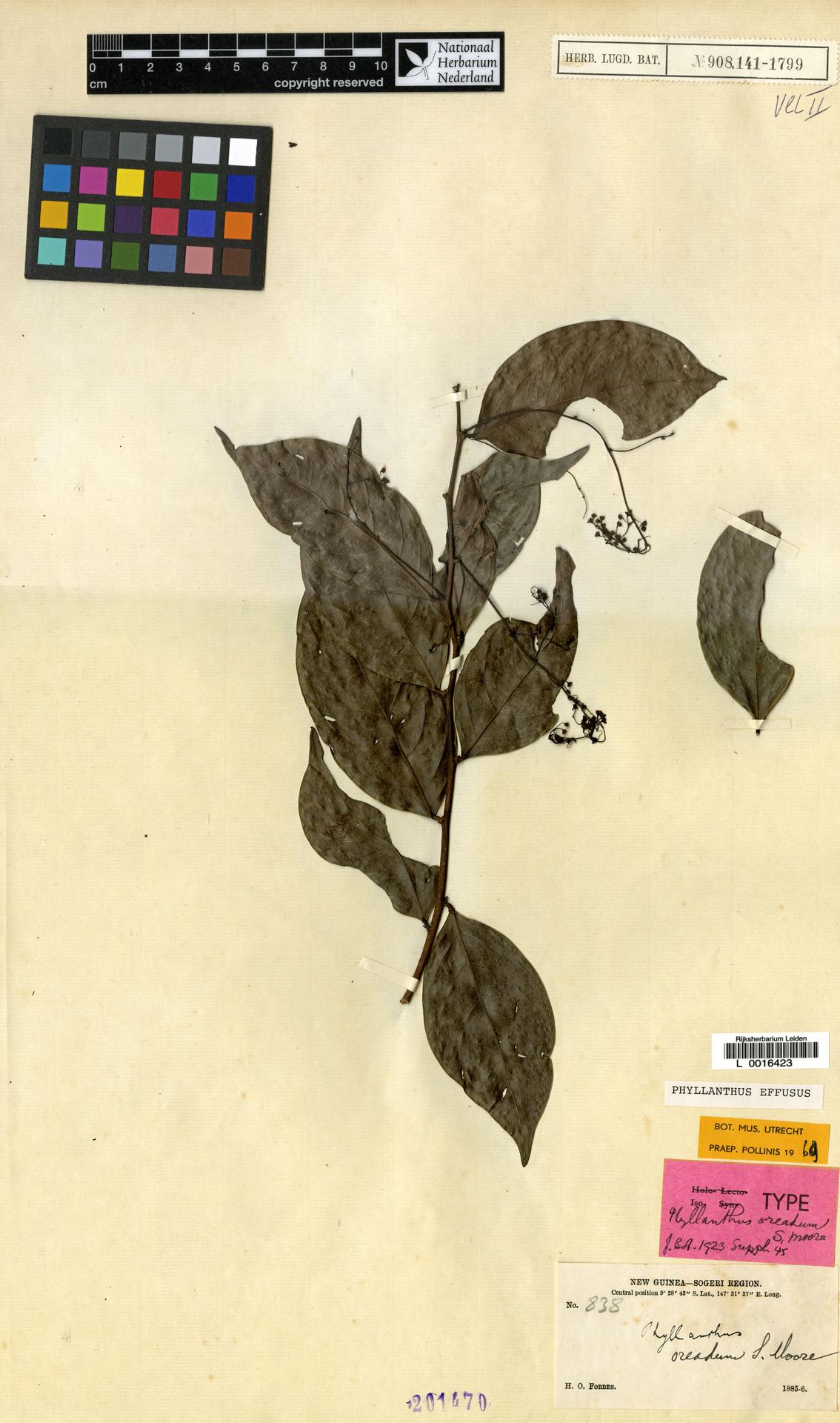 L  0016423 | Phyllanthus effusus S.Moore