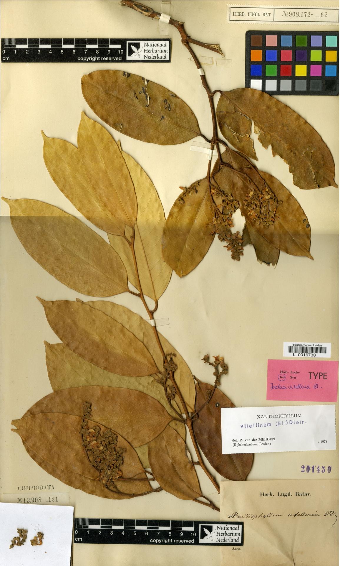 L  0016733 | Xanthophyllum vitellinum (Blume) D.Dietr.