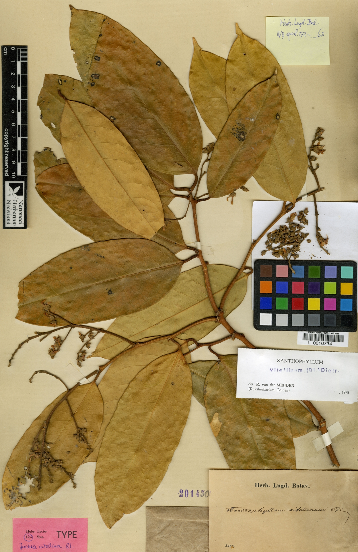 L  0016734   Xanthophyllum vitellinum (Blume) D.Dietr.