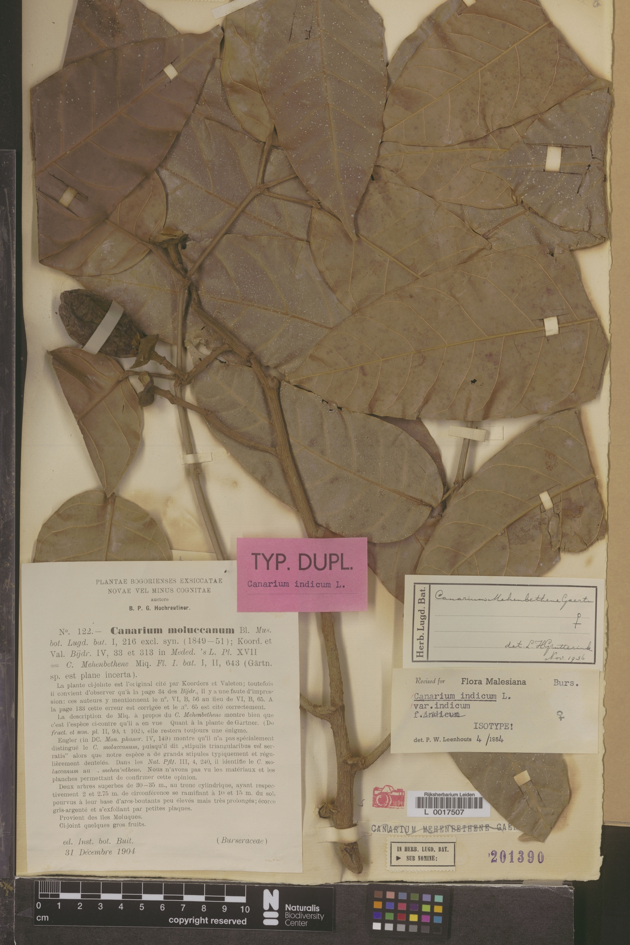 L  0017507 | Canarium indicum L.