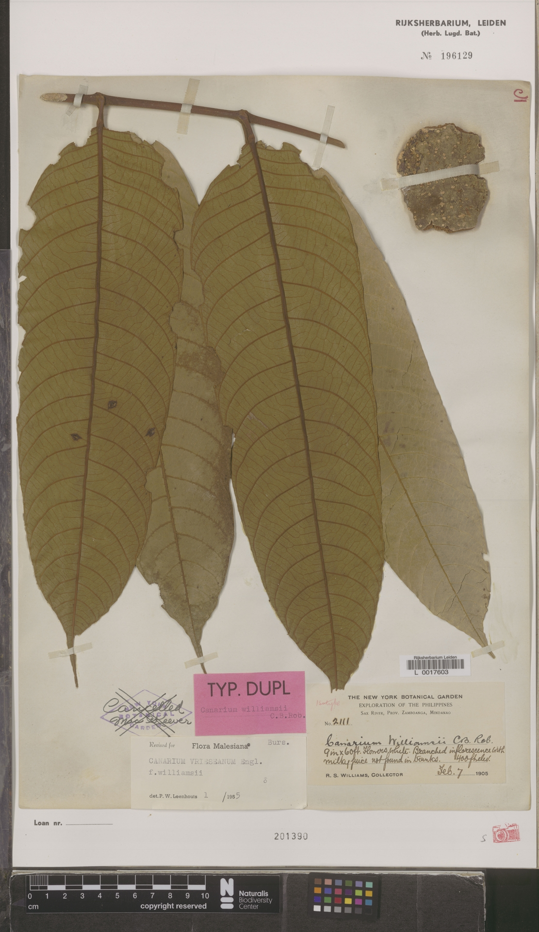 L  0017603   Canarium vrieseanum f. williamsii (C.B.Rob.) Leenh.