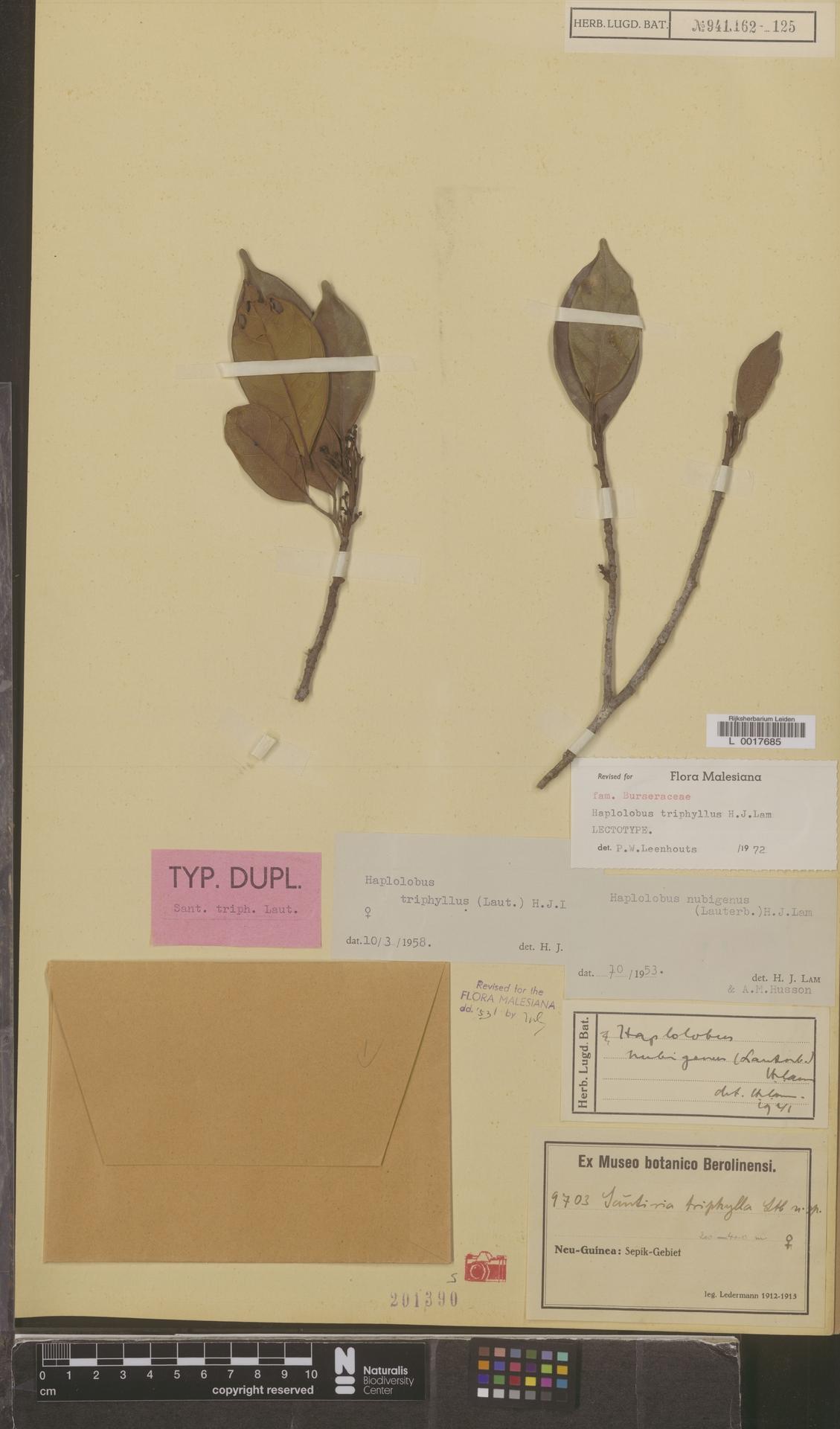 L  0017685 | Haplolobus triphyllus (Lauterb.) H.J.Lam
