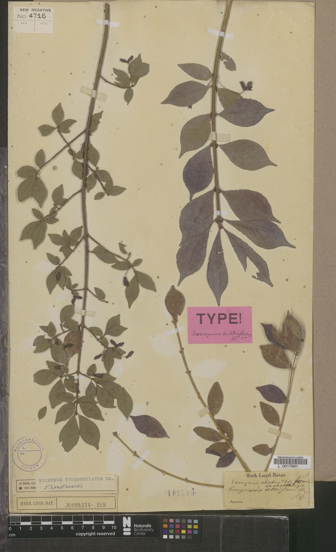 L  0017891 | Euonymus thunbergianus Blume