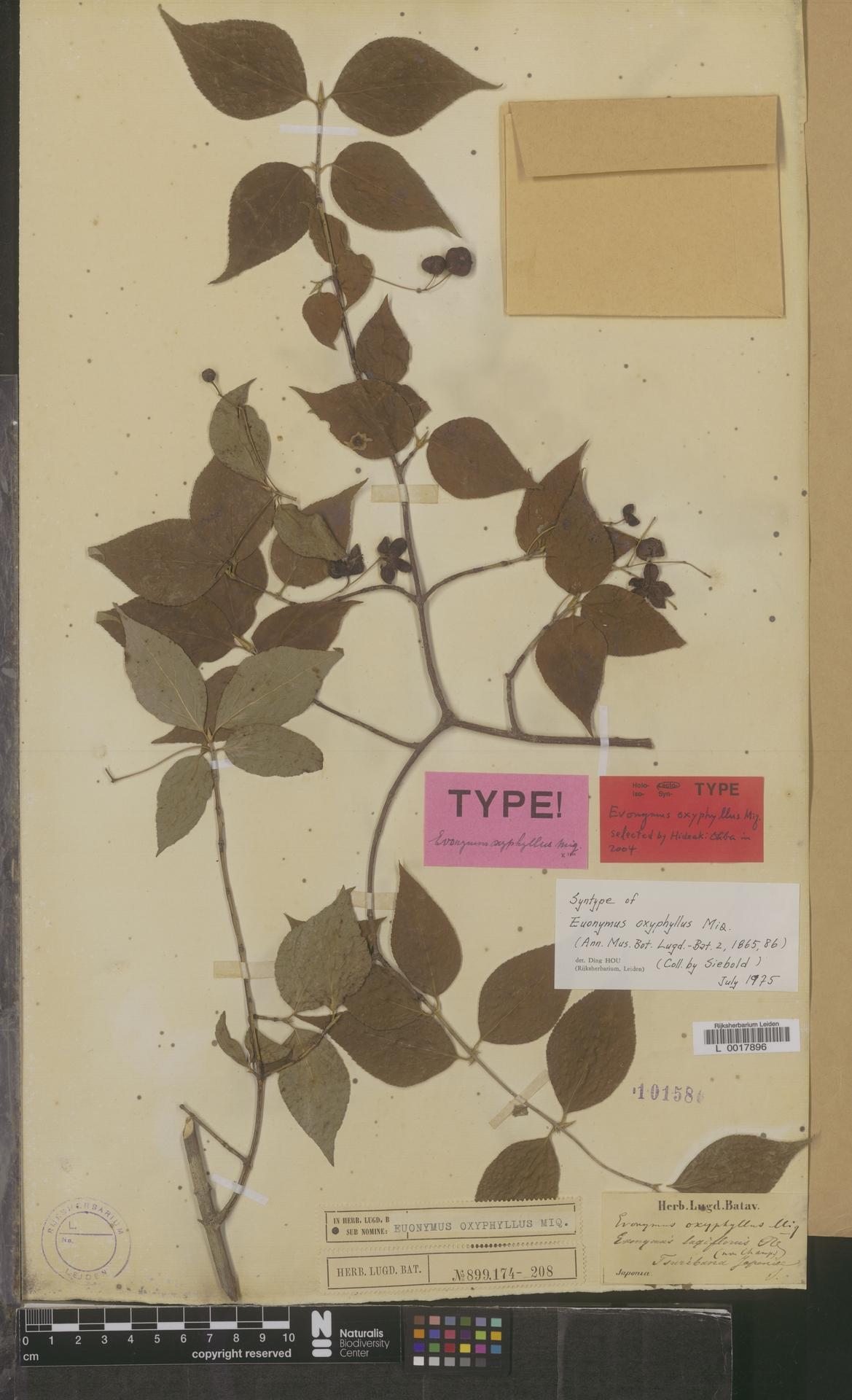 L  0017896   Euonymus oxyphyllus Miq.