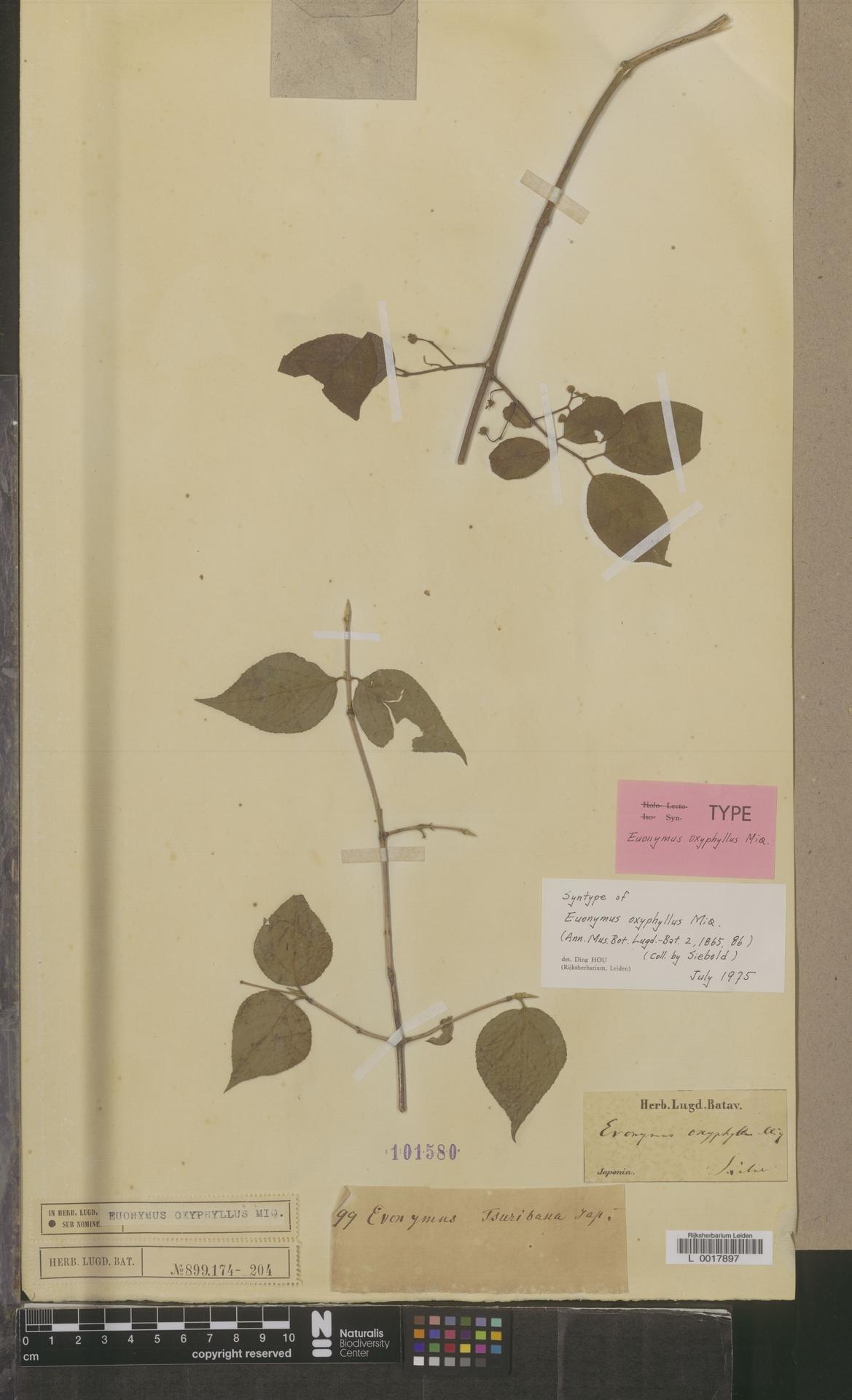 L  0017897 | Euonymus oxyphyllus Miq.
