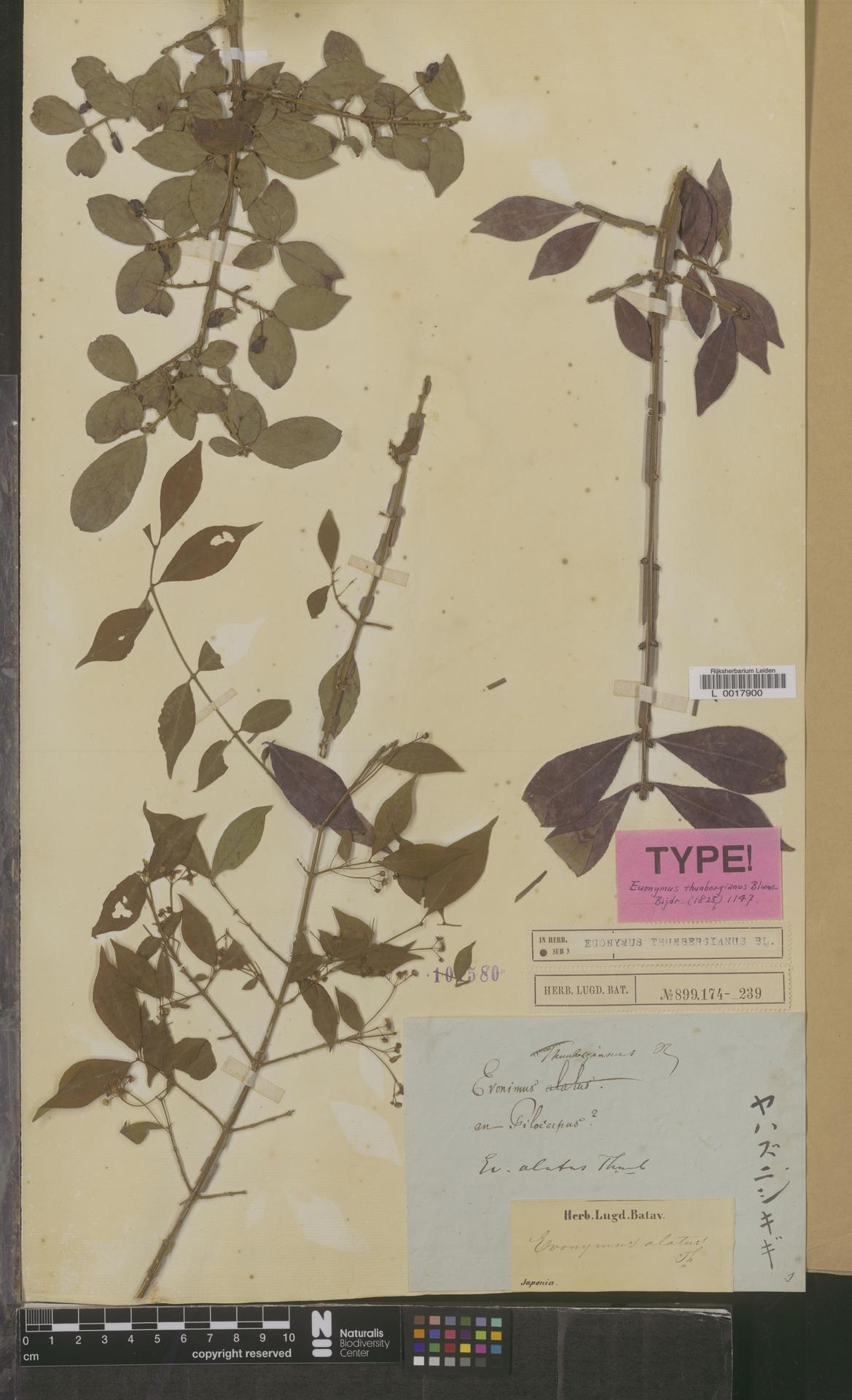 L  0017900 | Euonymus thunbergianus Blume