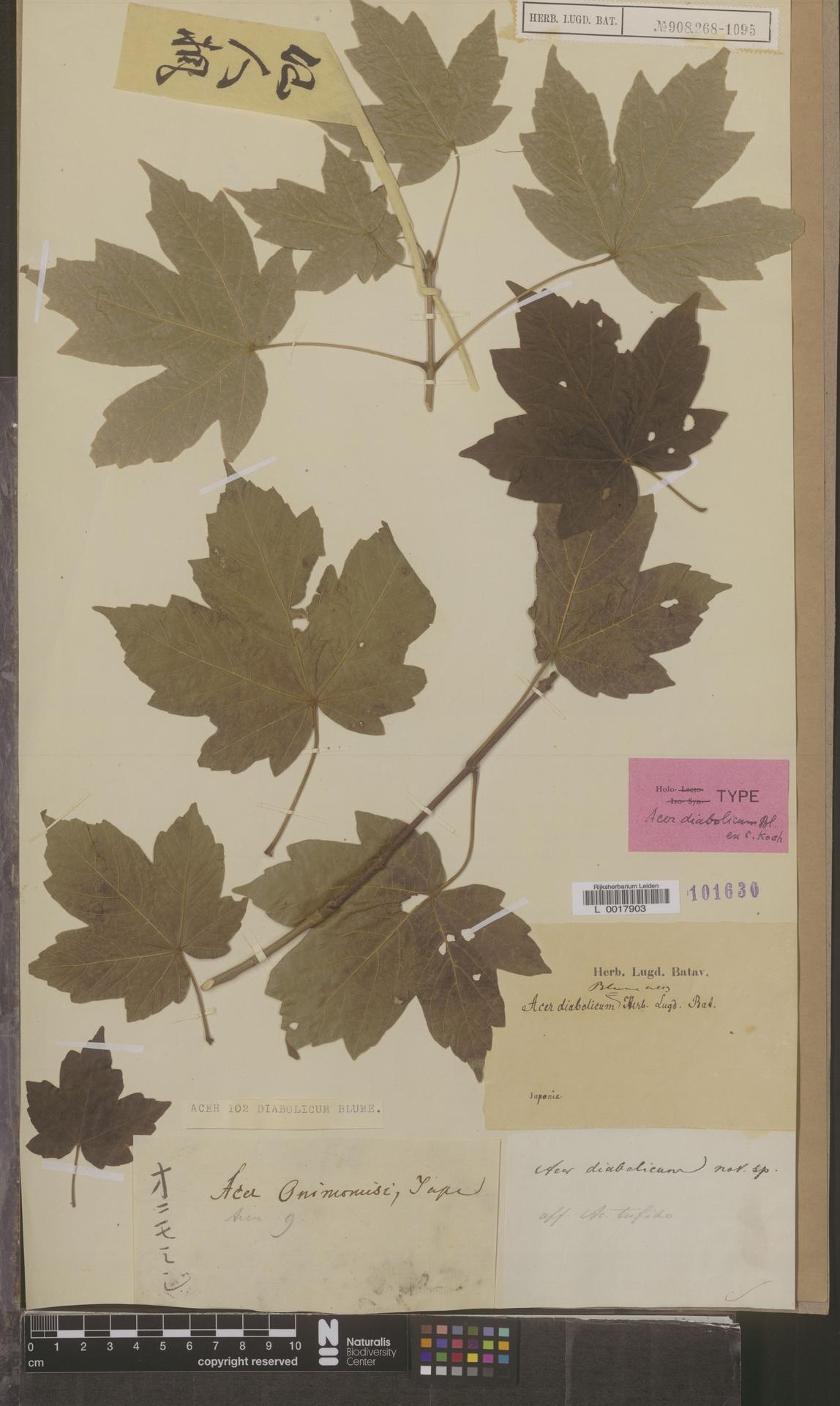 L  0017903 | Acer diabolicum Blume