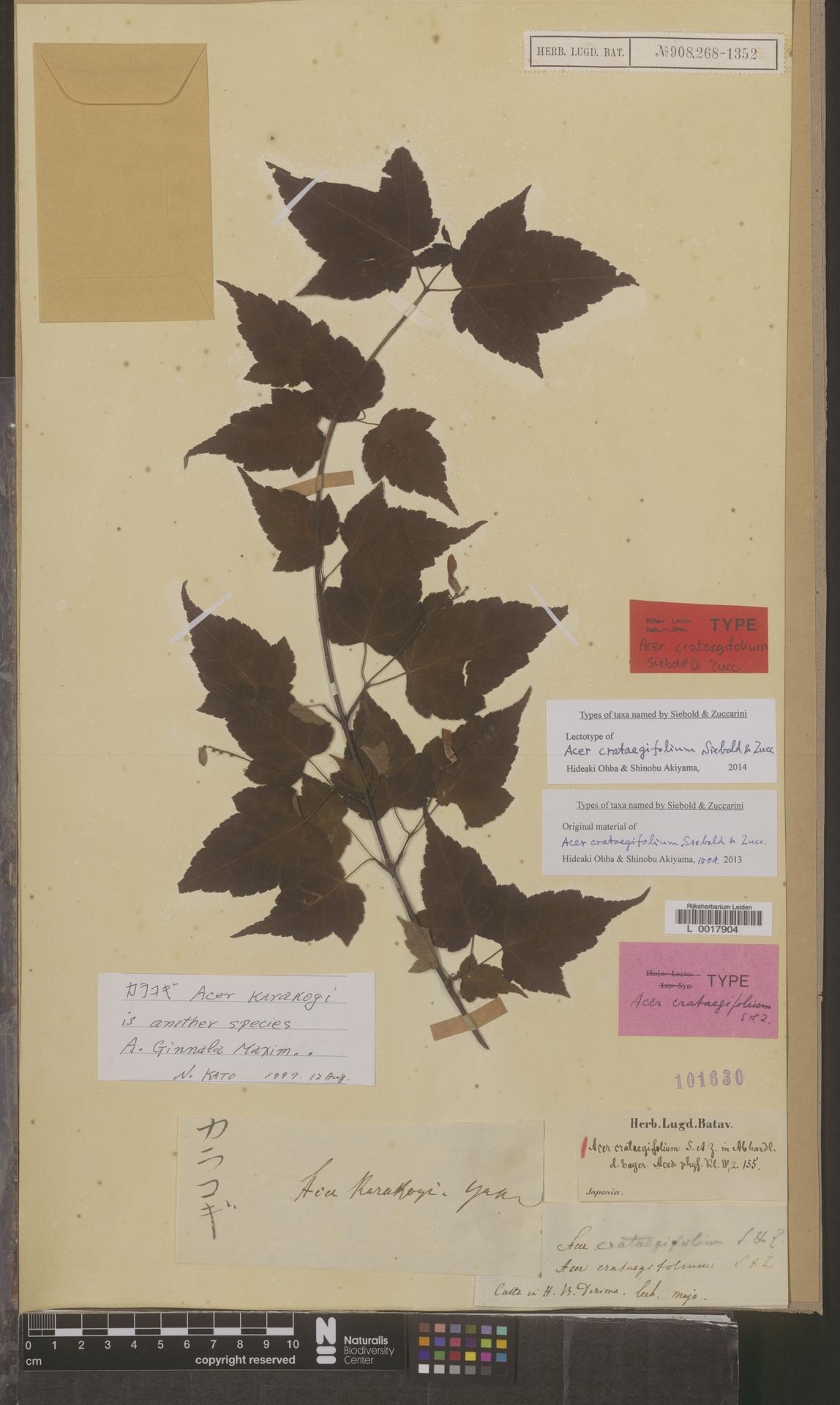 L  0017904 | Acer crataegifolium Siebold & Zucc.