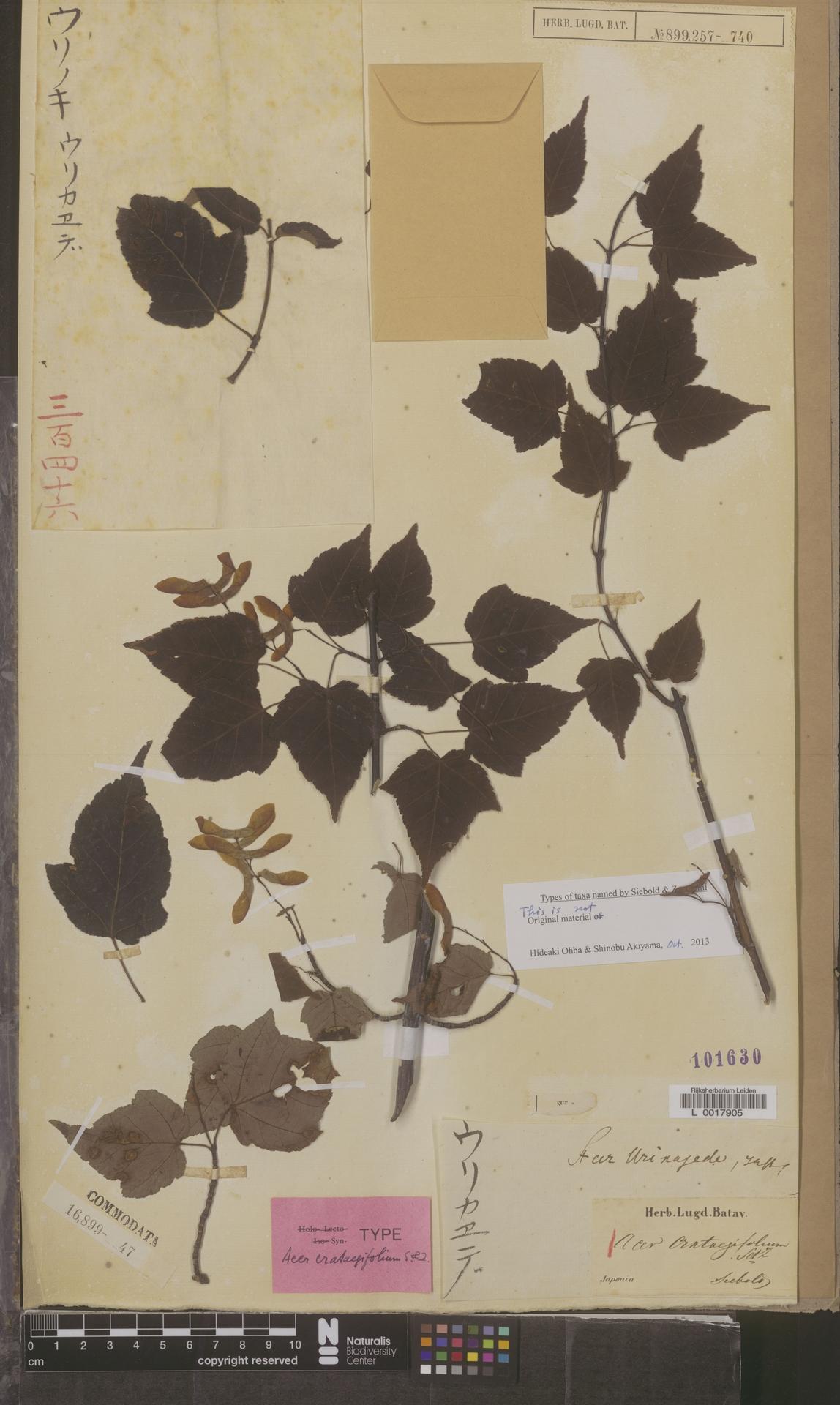 L  0017905 | Acer crataegifolium Siebold & Zucc.