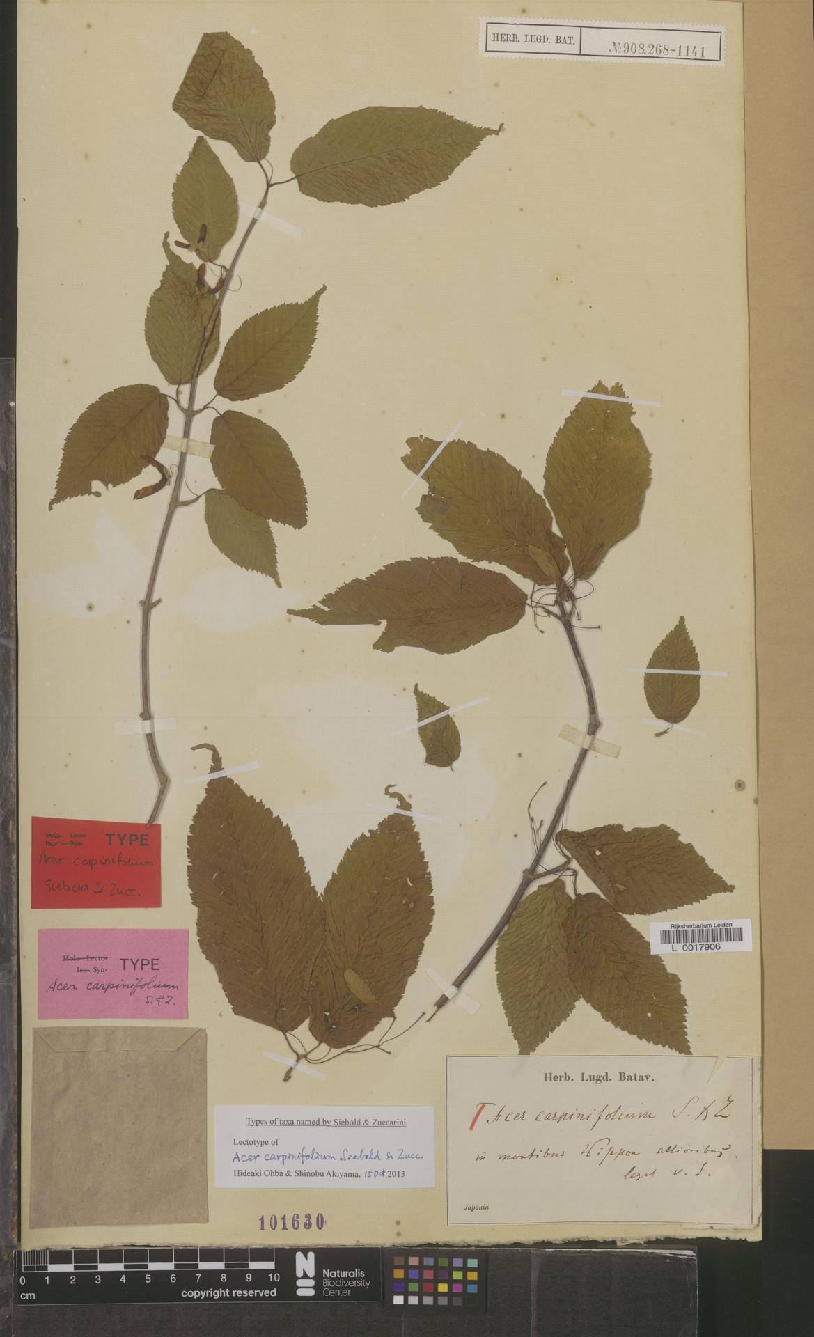 L  0017906 | Acer carpinifolium Siebold & Zucc.