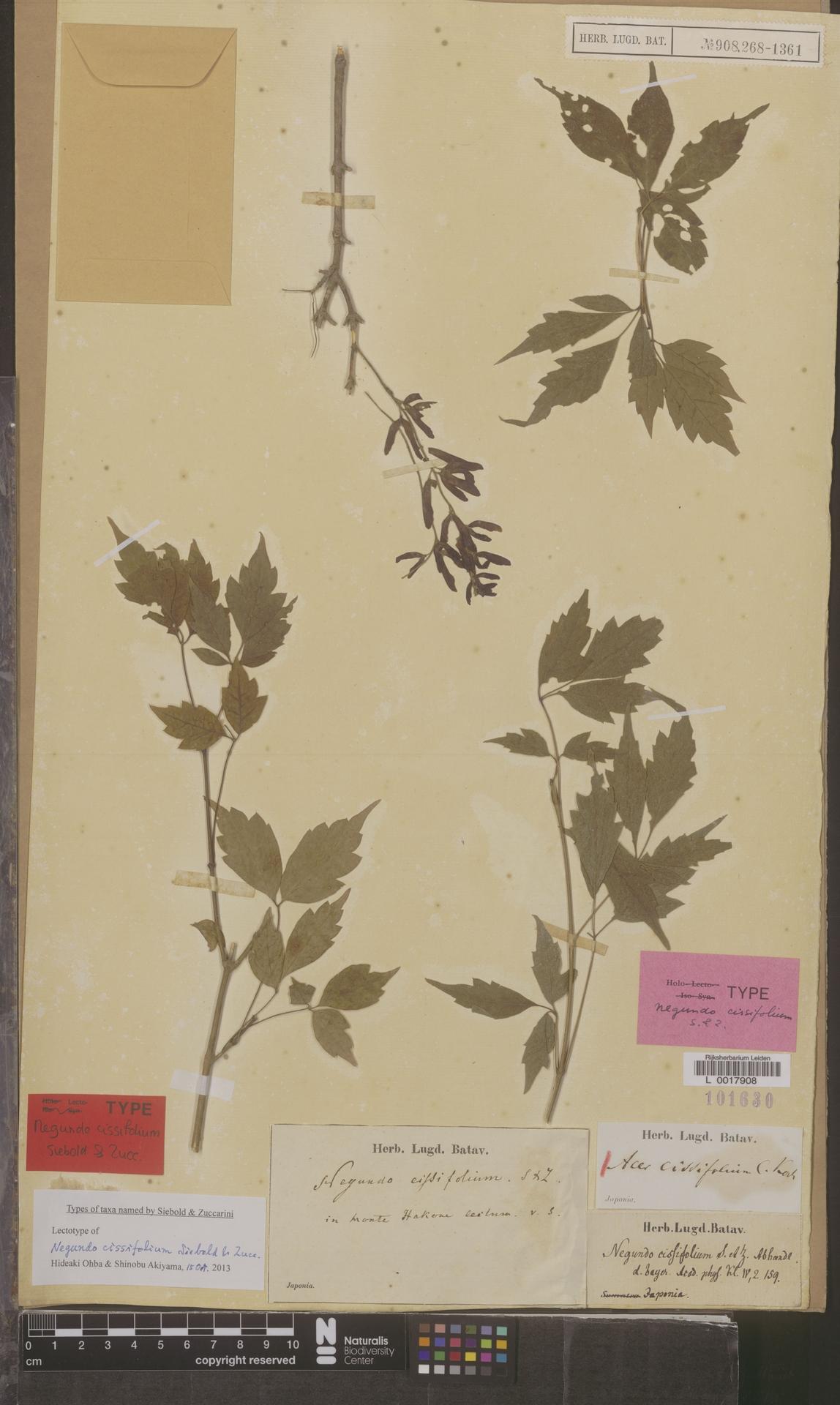 L  0017908 | Acer cissifolium (Siebold & Zucc.) K.Koch